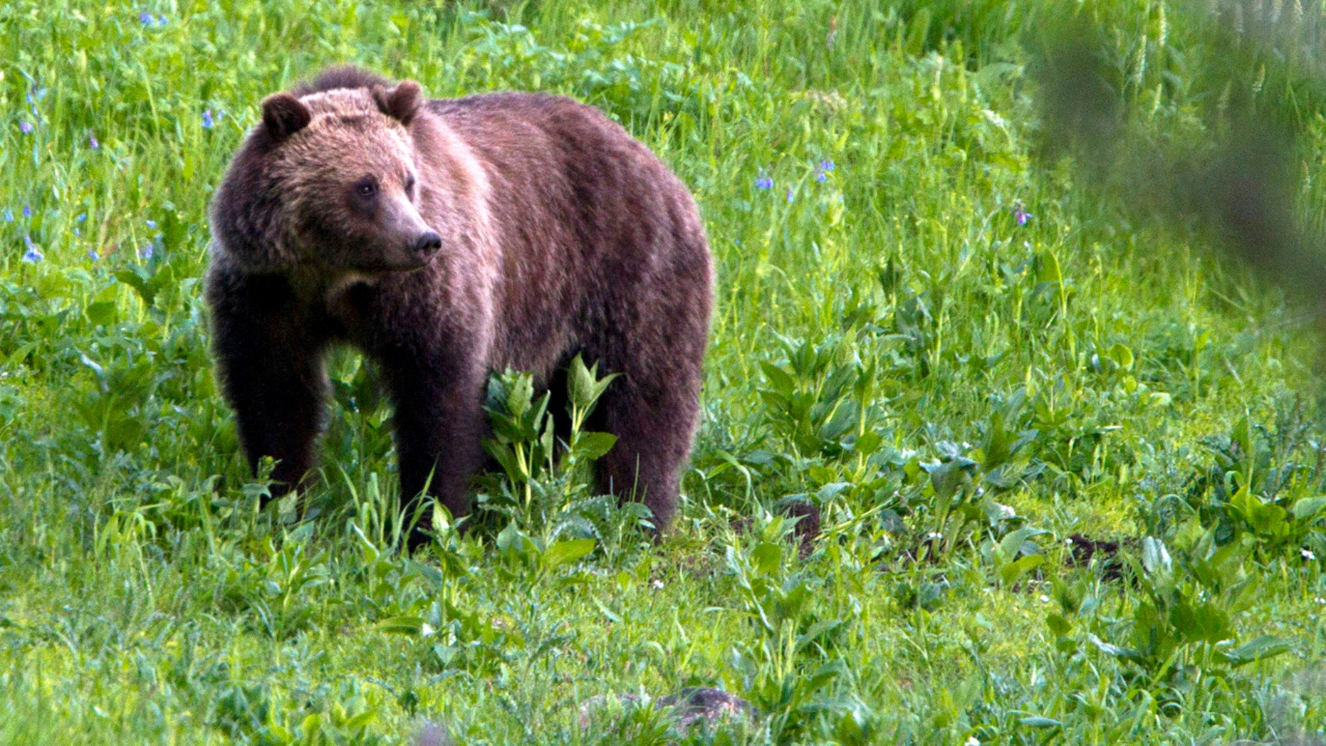A grizzly bear roams near Beaver Lake in Yellowstone National Park, Wyo., July 6, 2011. On Monday, Sept. 24, 2018, a federal judge restored federal protections to grizzly bears in the Northern Rocky Mountains and blocked the first hunts planned for the animals in the Lower 48 states in almost three decades.