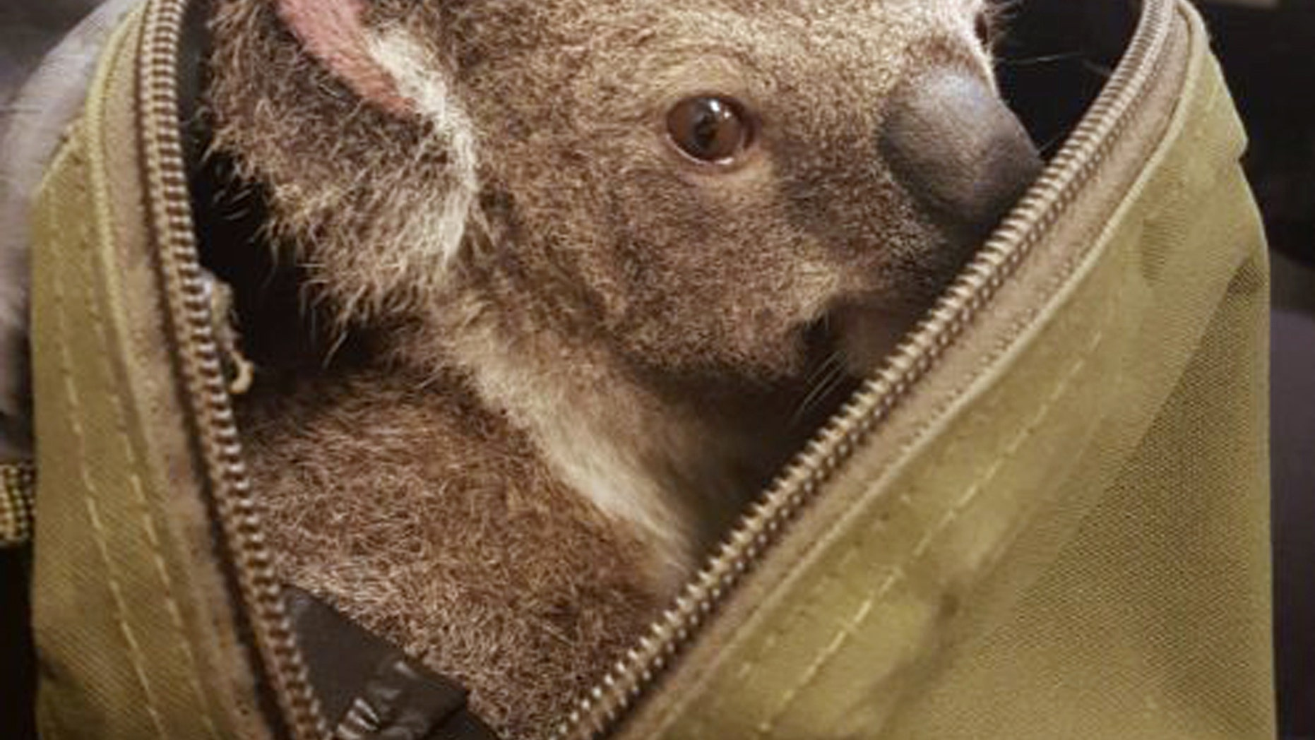 In this photo provided on Nov. 7, 2016, by the Queensland Police, a koala peeks out form the top of a bag at the Upper Mount Gravatt Police station in Brisbane, Australia, after it was found in the bag carried by a woman who was being arrested. Police said that when they asked the 50-year-old woman if she had anything to declare Sunday night, Nov. 6, 2016, she handed over a zipped canvas bag that she said contained a baby koala. (Queensland Police via AP)