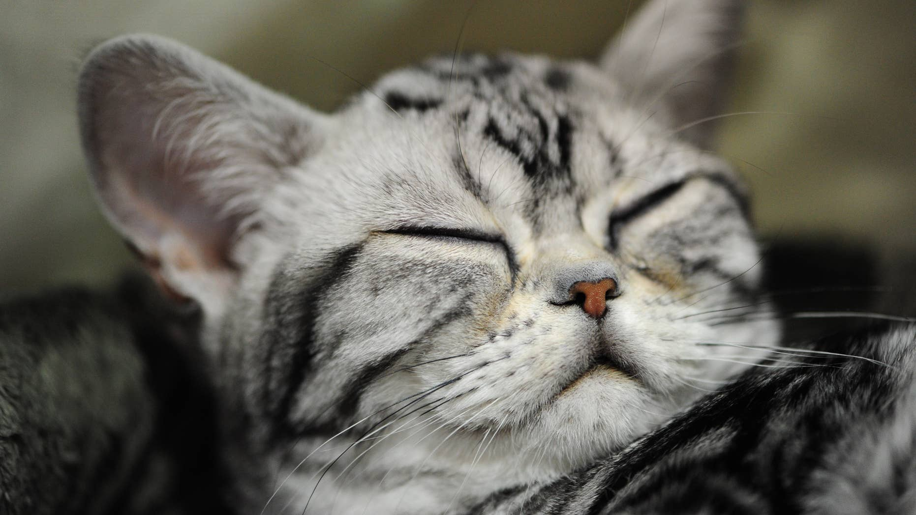 Macy, a four-month-old American Shorthair Silver Tabby kitten gets some rest at the 51st annual Oregon Cats Classic at the Expo Center in Portland, Ore., on August 17, 2014. (Photo by Alex Milan Tracy/Sipa USA)