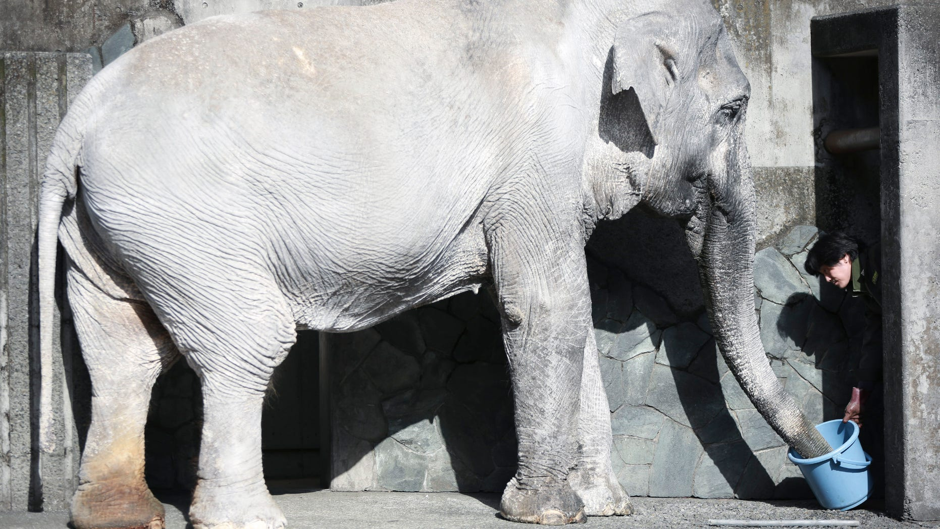 """In this Jan. 27, 2016 photo, a zoo attendant feeds Hanako the elephant at Inokashira Park Zoo on the outskirts of Tokyo. An online petition drive wants the 69-year-old Hanako, or """"flower child,"""" to be moved to a Thai sanctuary, to live in a natural, grassy habitat where elephants romp in herds, not alone in her concrete pen, with a wading pool she hardly uses and a nearby side building to spend the night. It's attracted tens of thousands of signatures already, with the aim of submitting them to the suburban Tokyo zoo and the Japanese government. (AP Photo/Eugene Hoshiko)"""