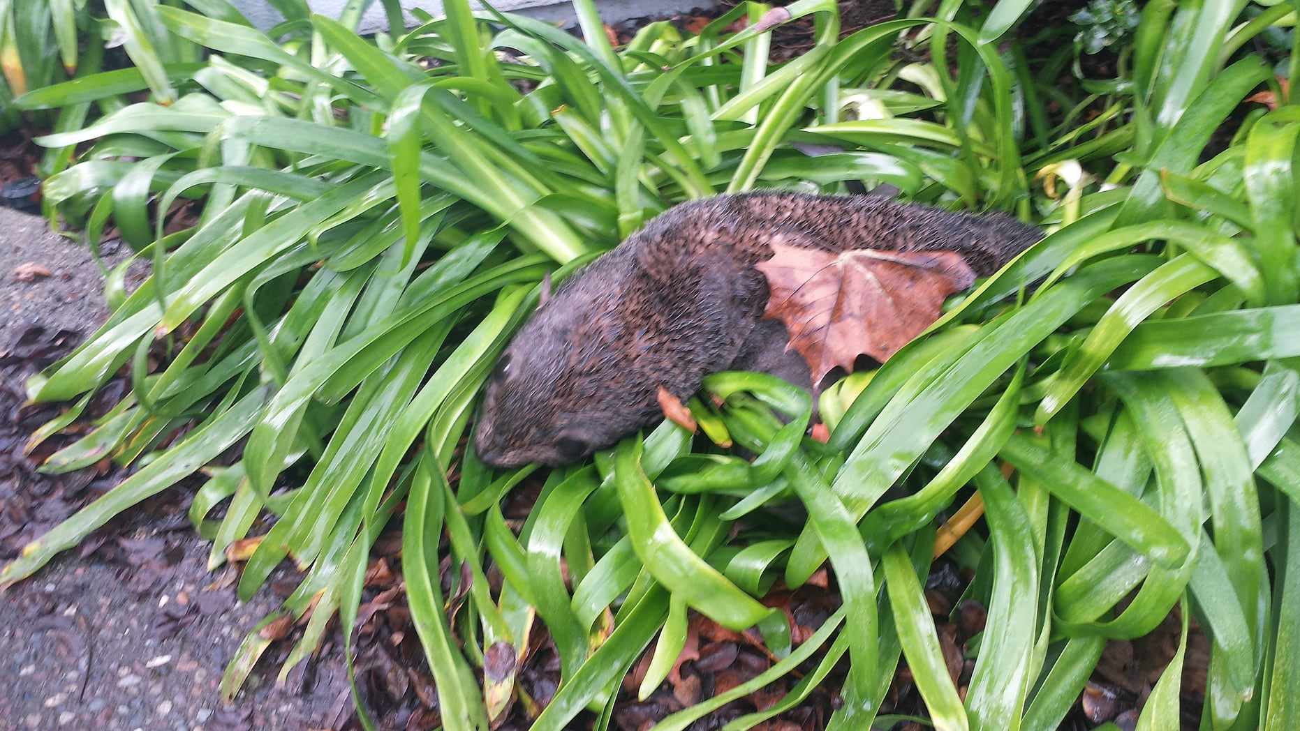 This photo provided by the Marine Mammal Center shows an emaciated baby northern fur seal that was found in some bushes Wednesday, Jan. 20, 2016, at a business park in Hayward, Calif. Hayward police said that the dehydrated and malnourished seal was found after someone called about the pup around 6 a.m. Wednesday. Police say the seal somehow got out of the water, crossed busy Interstate 880 and found its way to the bushes. The Marine Mammal Center in Sausalito picked up the animal, which they hope to nourish and send back into the wild as soon as possible. (Marine Mammal Center via AP)