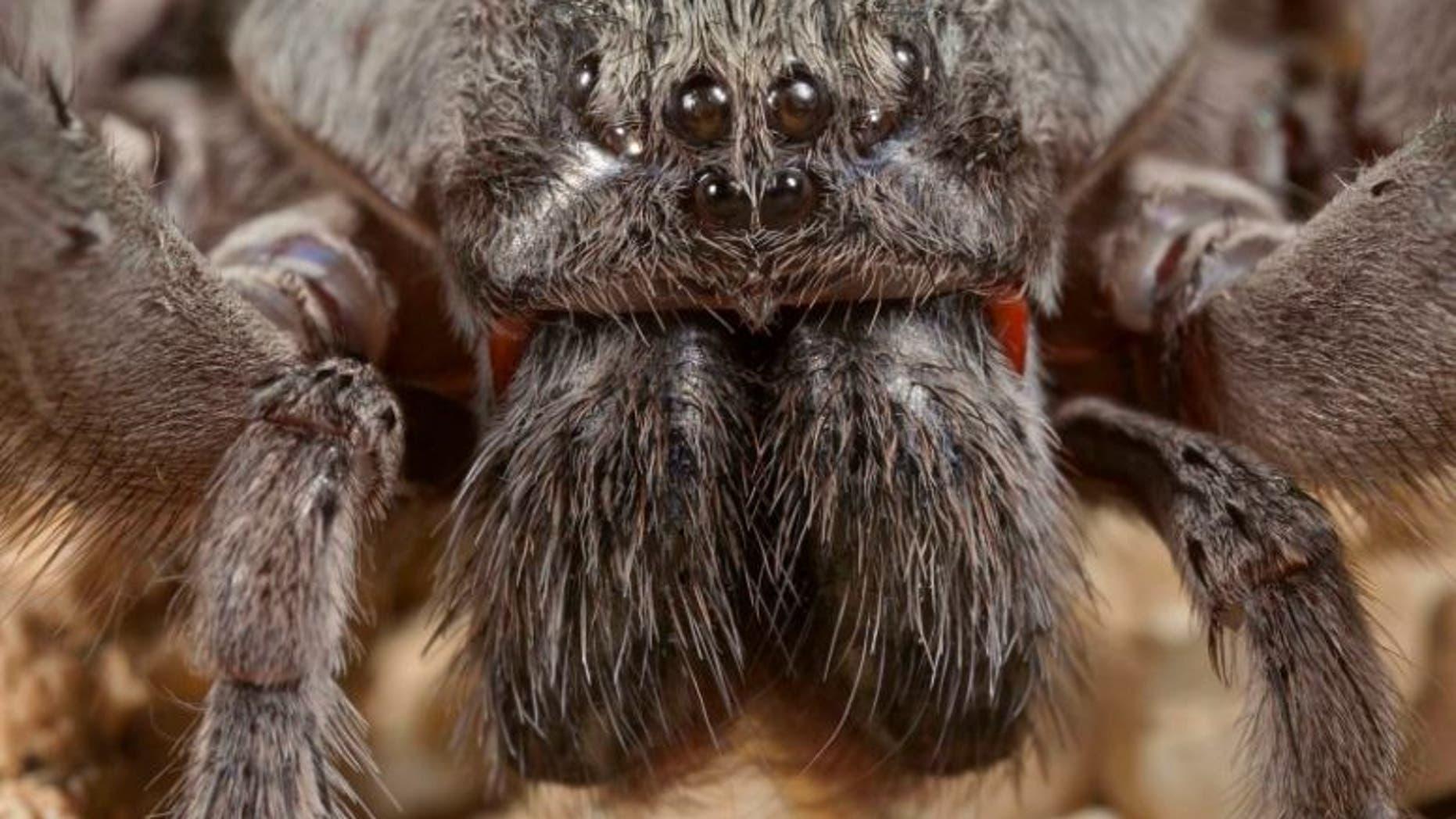 Despite its intimidating look, Califorctenus cacachilensis' venom is not fatal to humans.