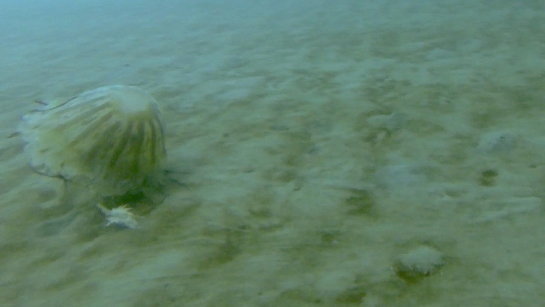 Scientists spotted this huge jellyfish (<em>Chrysaora melanaster</em>) dragging a crustacean with one of its tentacles under the sea ice covering the Chukchi Sea off the north coast of Alaska.