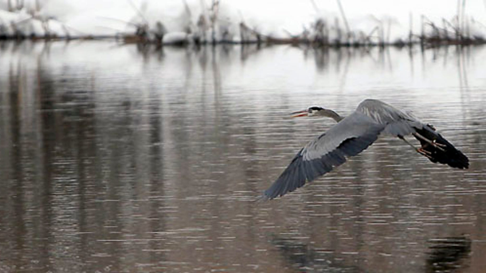 A heron flies across the Frances Short pond Monday afternoon, March 19, 2012 in Flagstaff, Ariz. as snow continues to fall from a winter storm that has already dropped more than 24 inches. (AP Photo/Arizona Daily Sun, Jake Bacon)