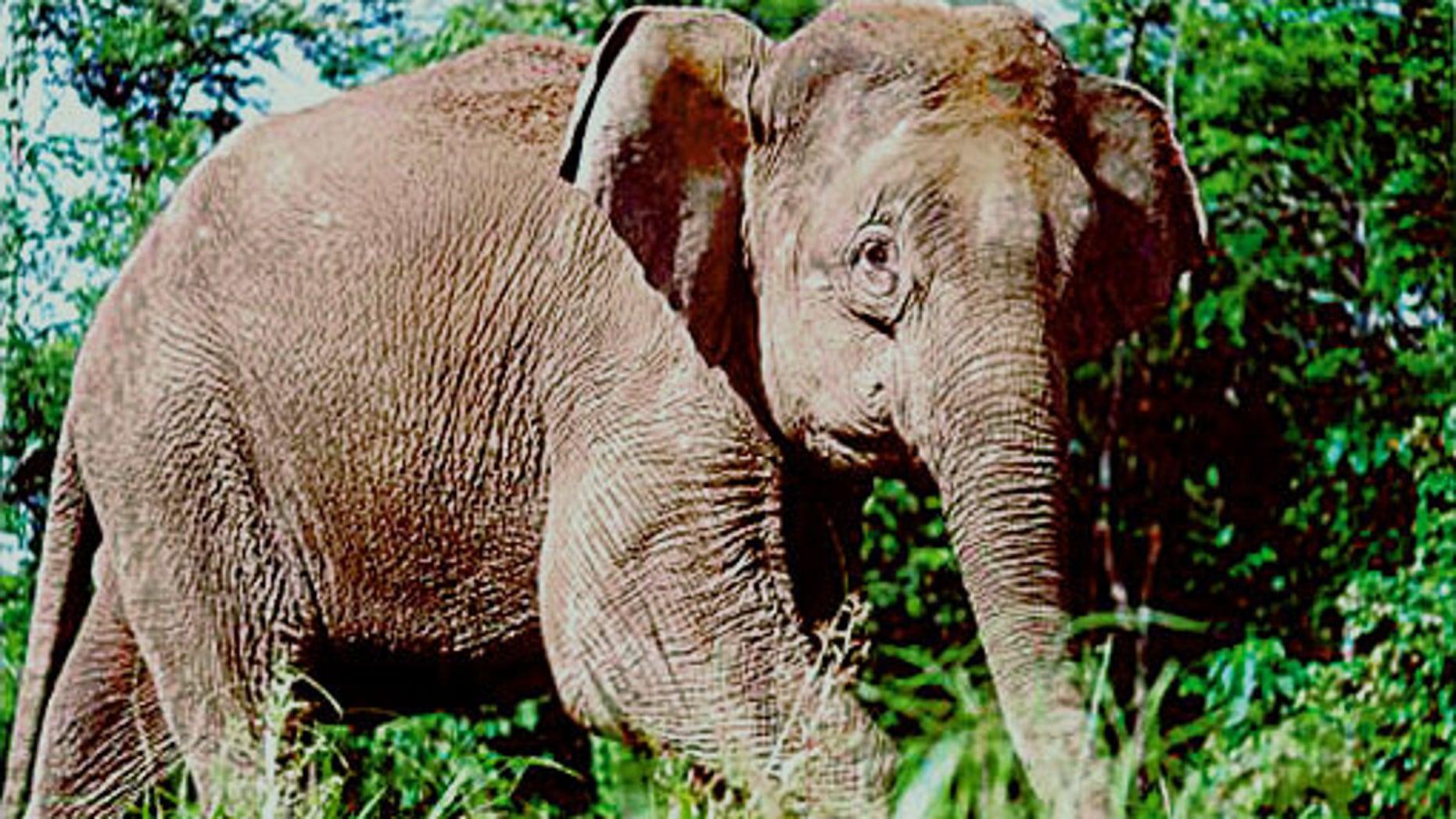 An Asian elephant.