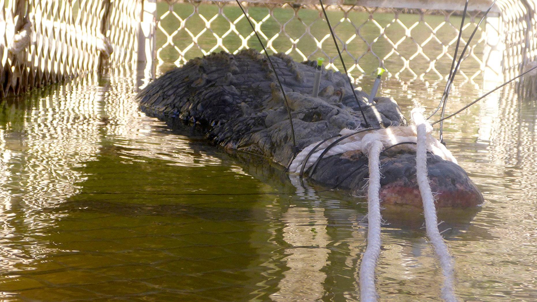 A 15-foot, 1,300-pound saltwater croc was captured in Australia.