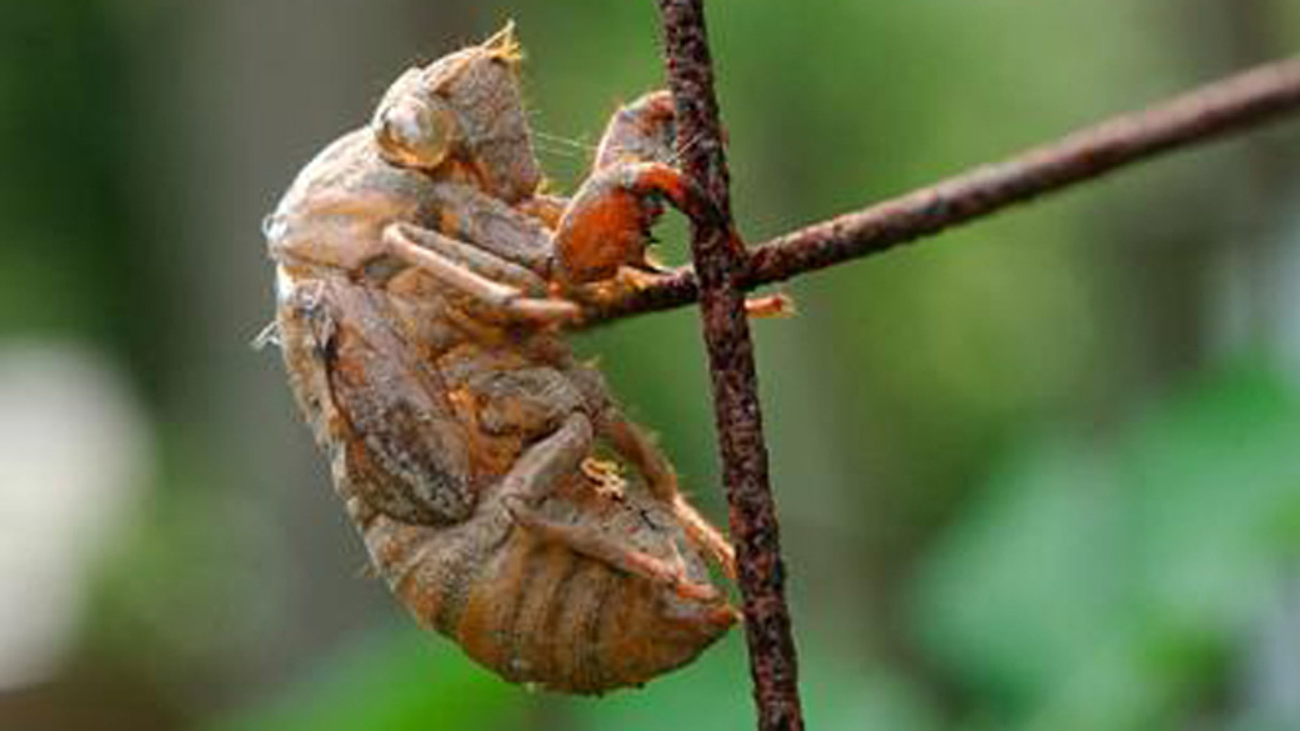 A cicada, big, noisy bugs that climb out of the earth about every decade and a half.