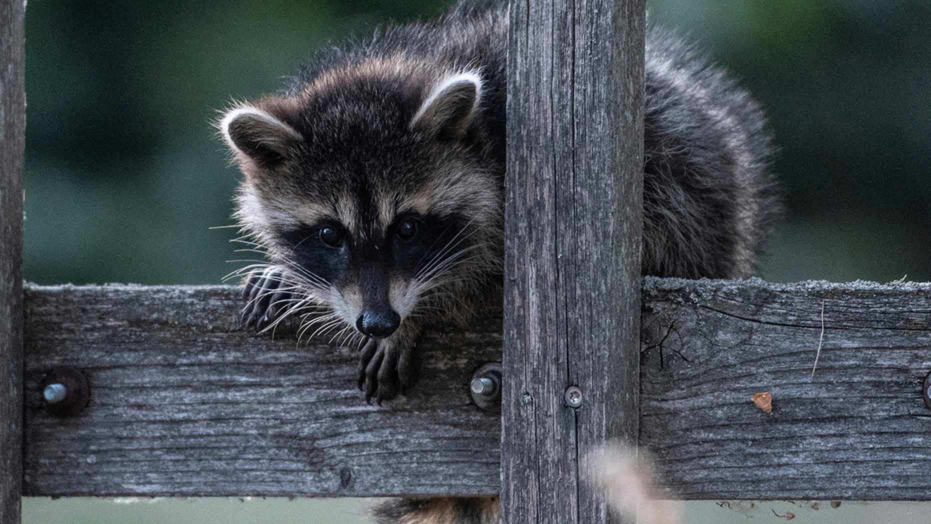 In this July 4, 2018 photo a raccoon sits on a fence in Prietzen, eastern Germany. (Paul Zinken/dpa via AP)