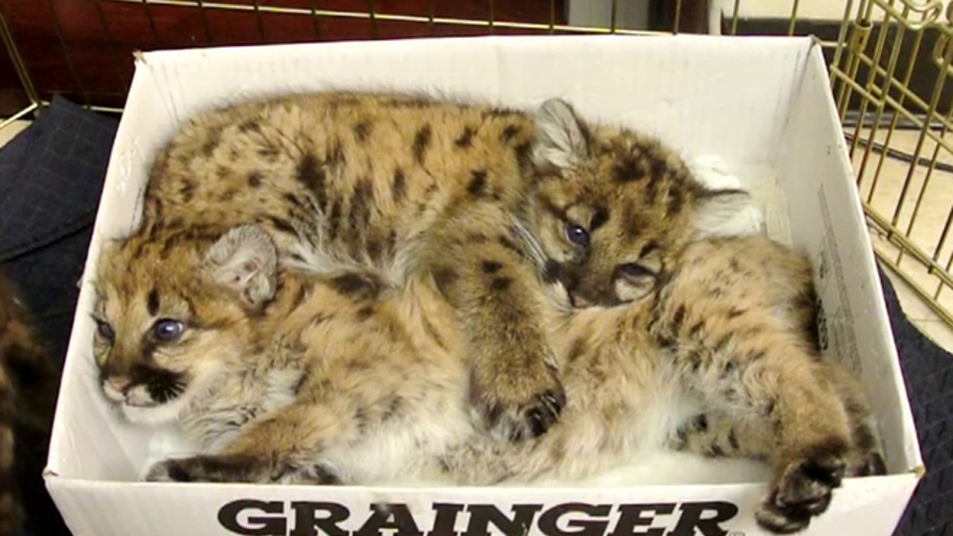 Two baby mountain lions are pictured after California wildlife officials rescued them from the wild. Their mother died and the kittens were fending for themselves, but they will now be cared for by zoos in Kansas and Texas.