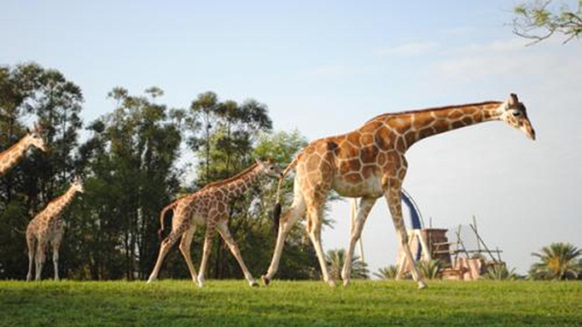 Cofi the Giraffe at Busch Gardens