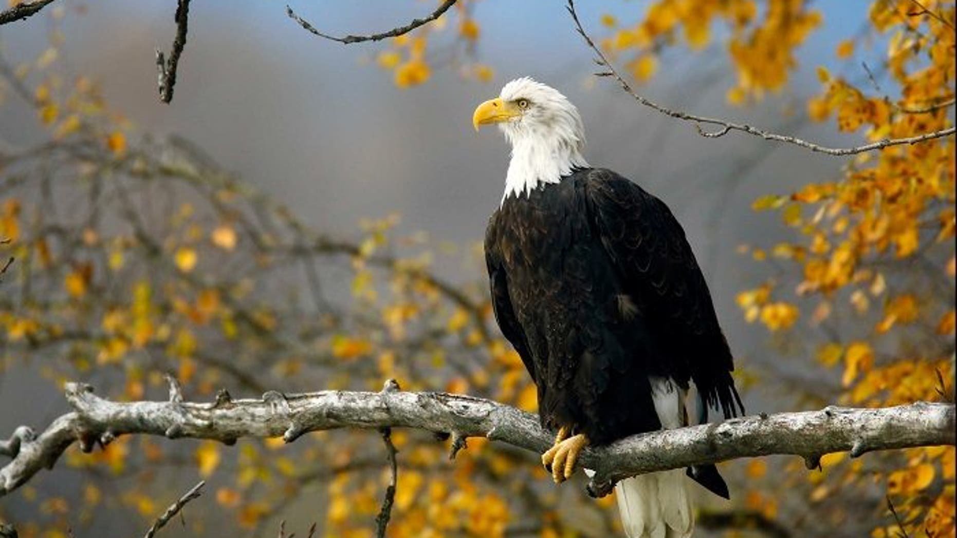 A bald eagle sits in a tree in the Chilkat Bald Eagle Preserve near Haines, Alaska October 8, 2014.   REUTERS/Bob Strong/File Photo - RC1306153200