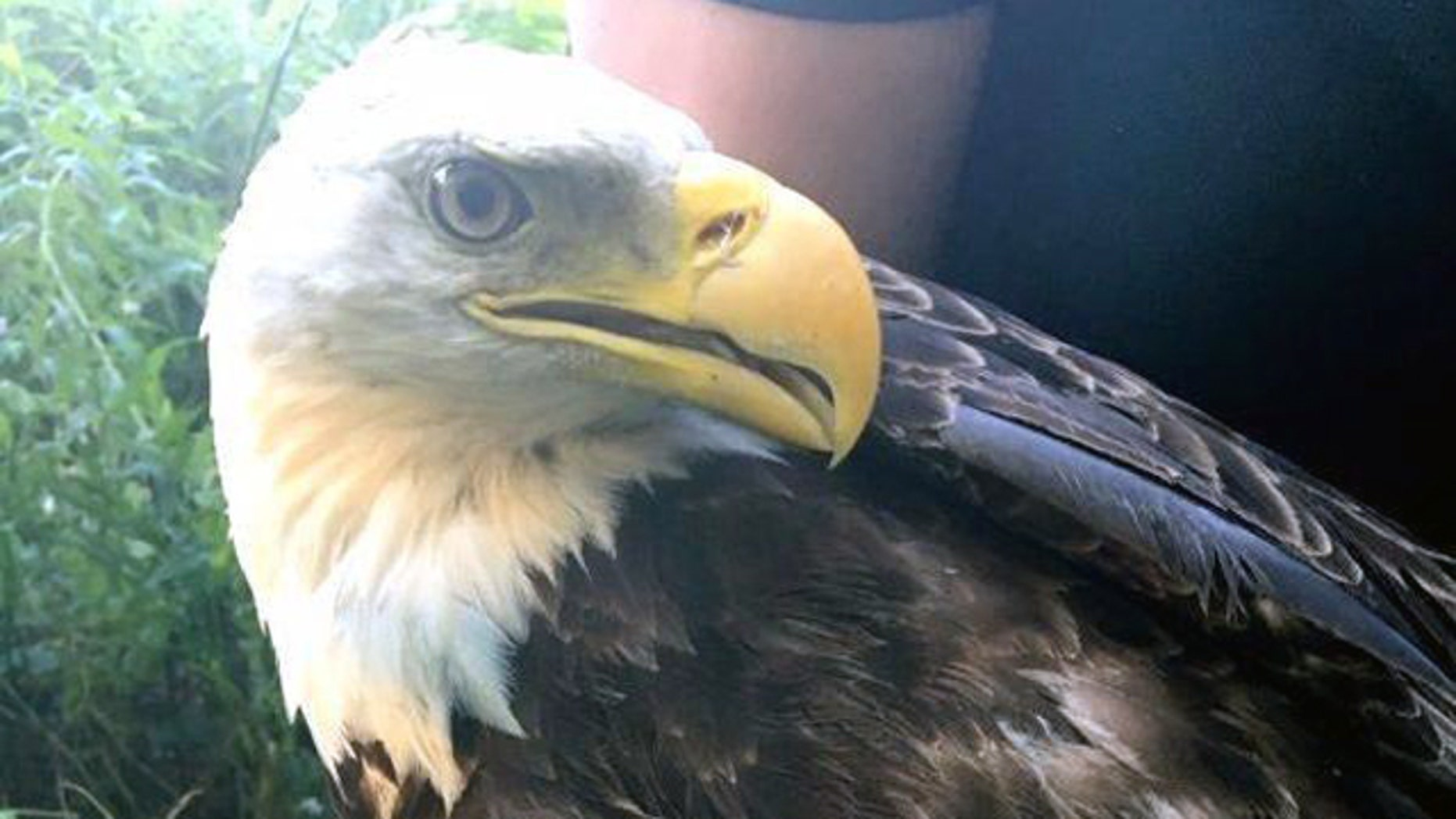 The bald eagle suffered a damaged wing when it was struck on Interstate 68.