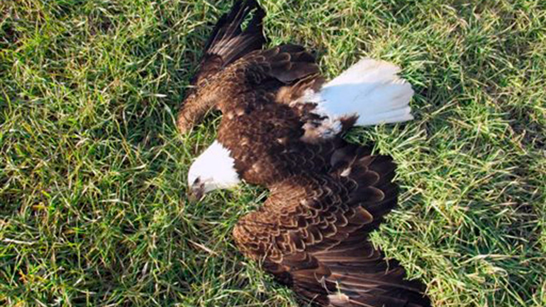 In this Feb. 20, 2016 photo, a bald eagle lies dead in Federalsburg, Md. Authorities say 13 bald eagles found dead near a farm on Maryland's Eastern Shore may have been poisoned.