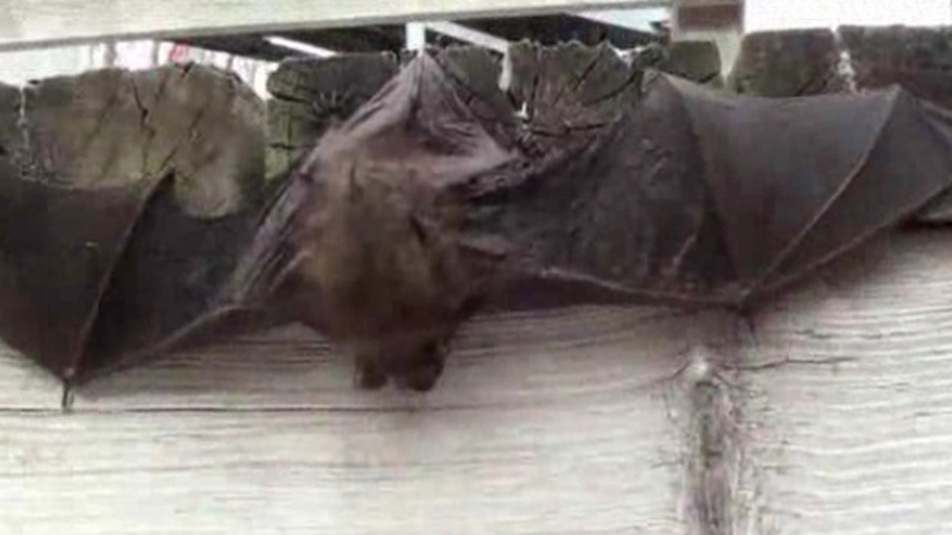 Drought conditions are impacting the population of bats in Yolo County in Northern California.
