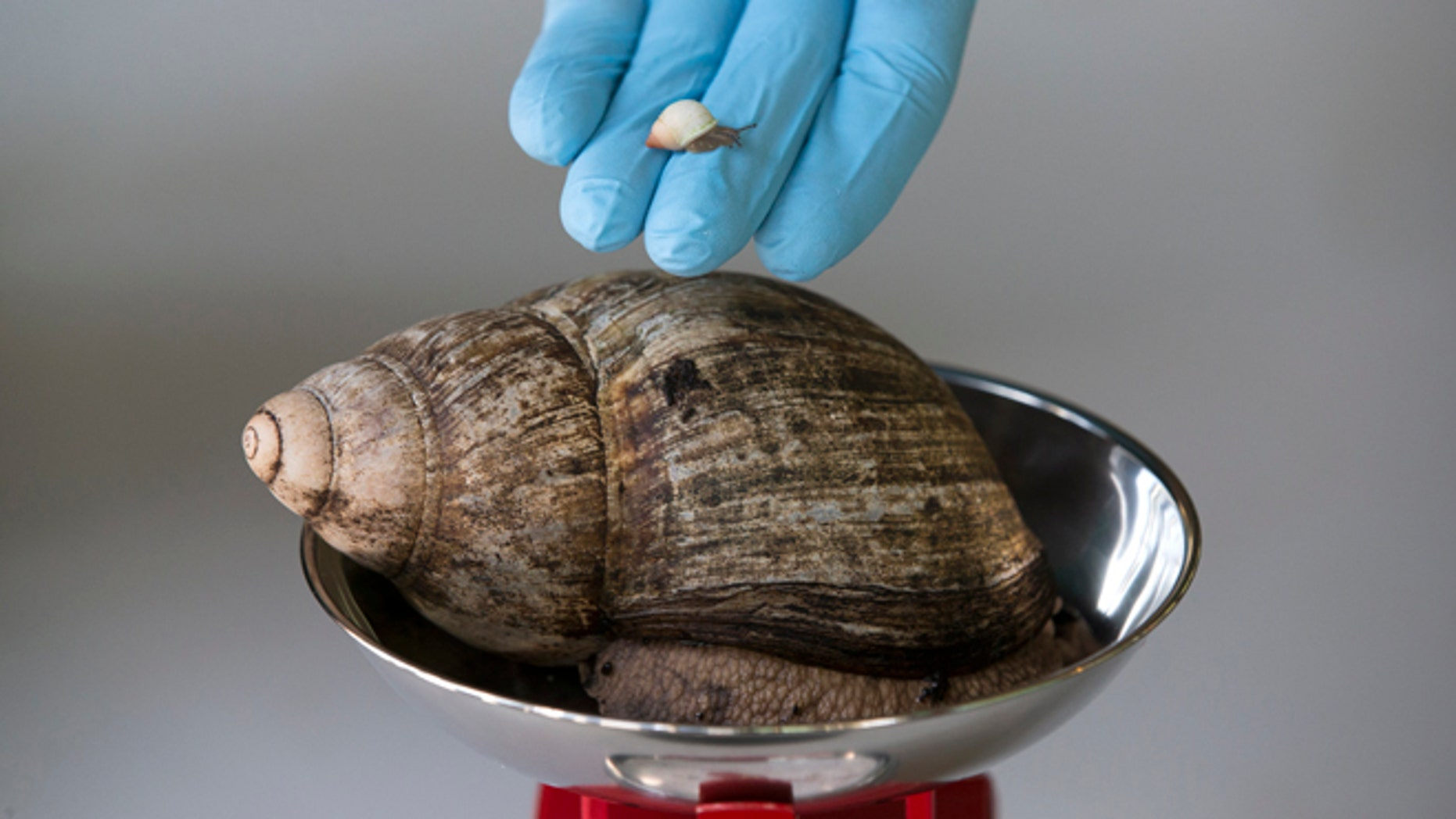 A Partula snail weighting 1mg is held next to an African Land Snail weighing 480kg.