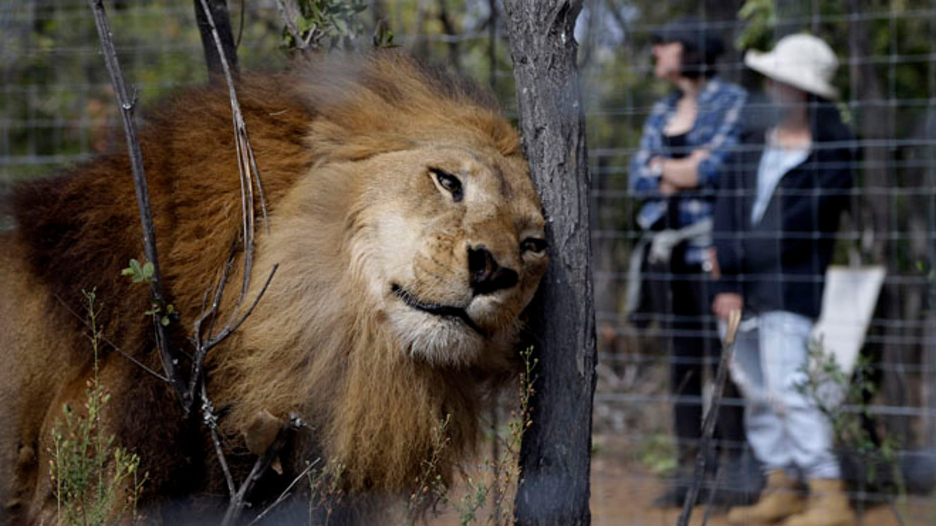 A former circus lion at Emoya Big Cat Sanctuary in Vaalwater, South Africa, Sunday, May 1, 2016.