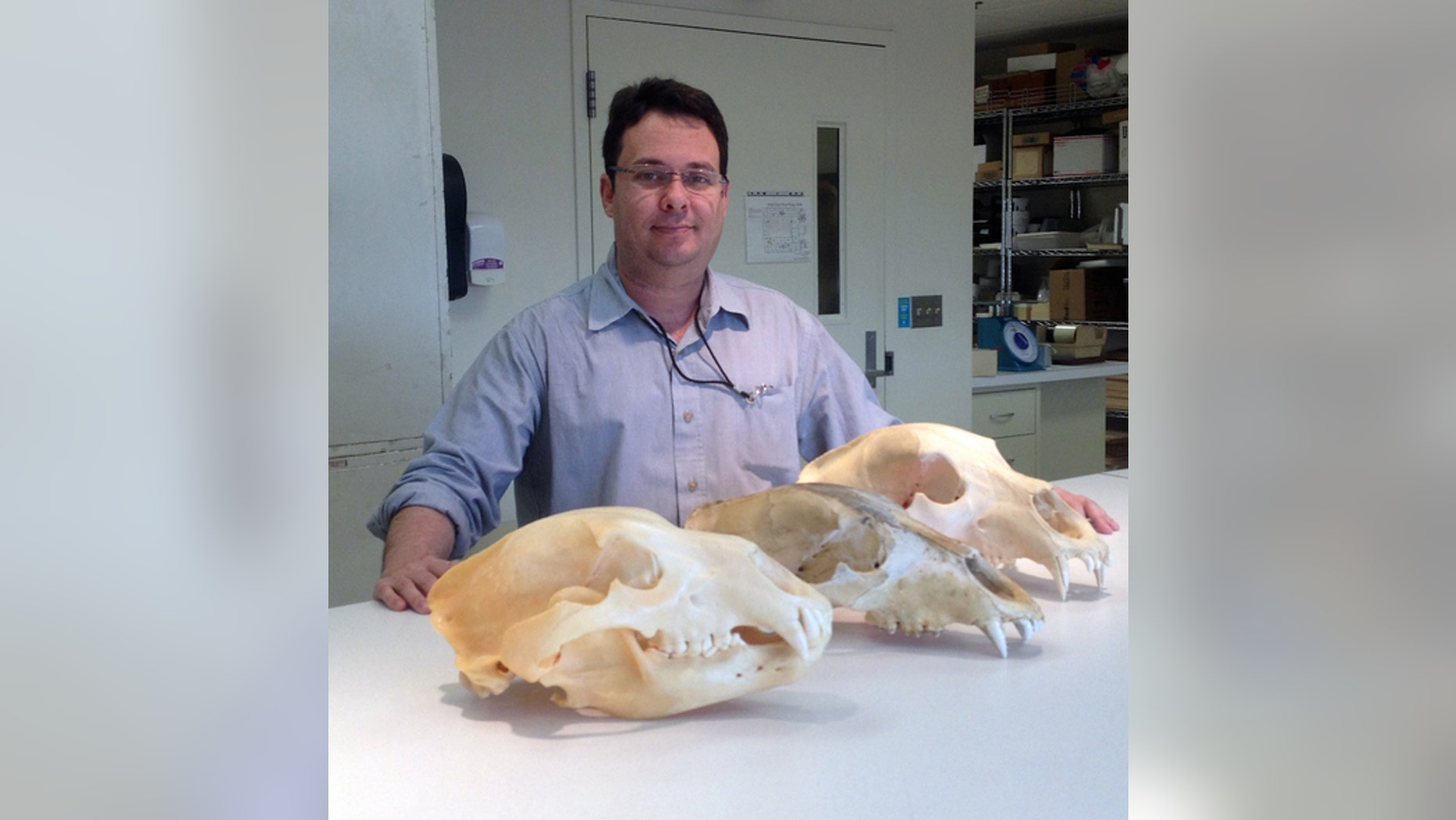 Eliécer Gutiérrez, a researcher who helped debunk a recent study on the yeti, with bear skulls at the Smithsonian's National Museum of Natural History.