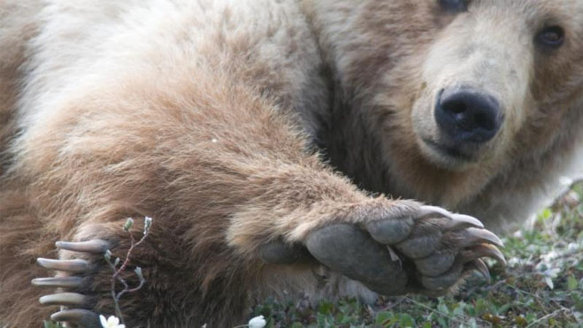 The video shows a close up of the bear as he stumbles then realizes that rolling down the hill was way more fun.