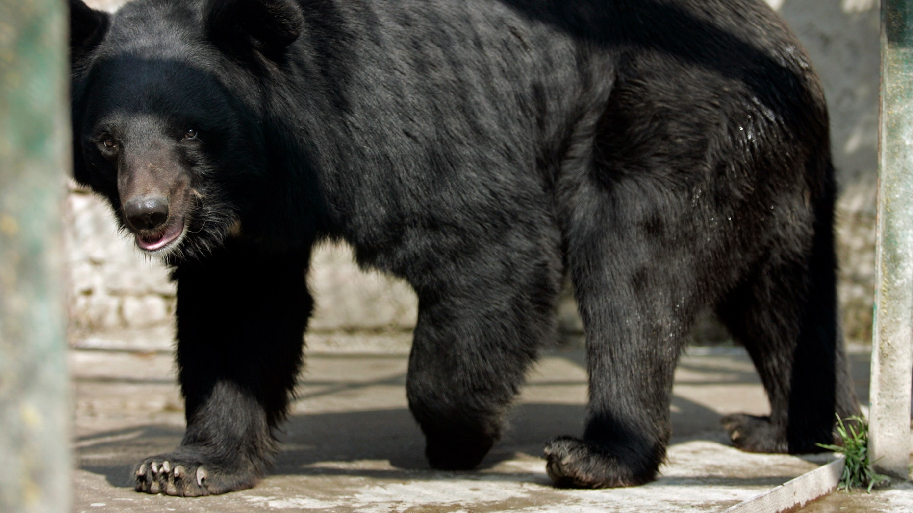 Injured bear fatally mauls man who attempted to take a