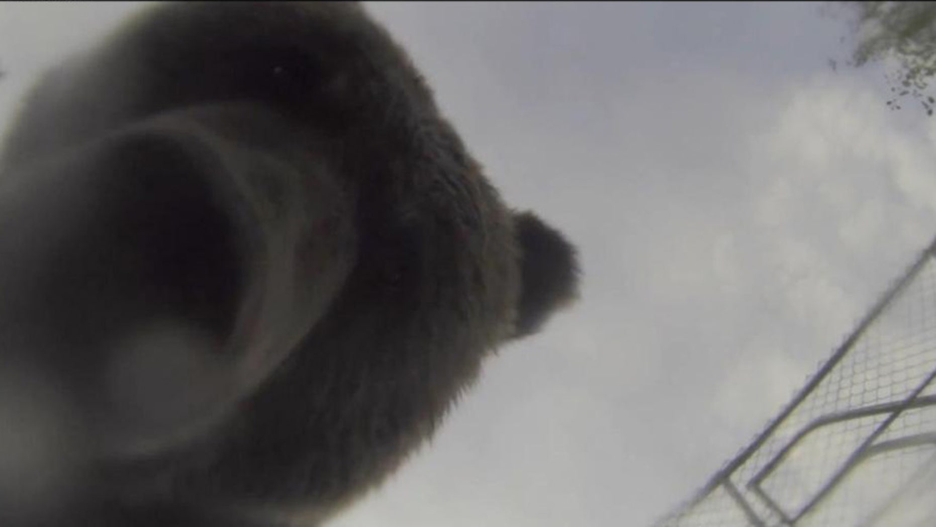 The grizzly bear that stole John Kitchin's GoPro.