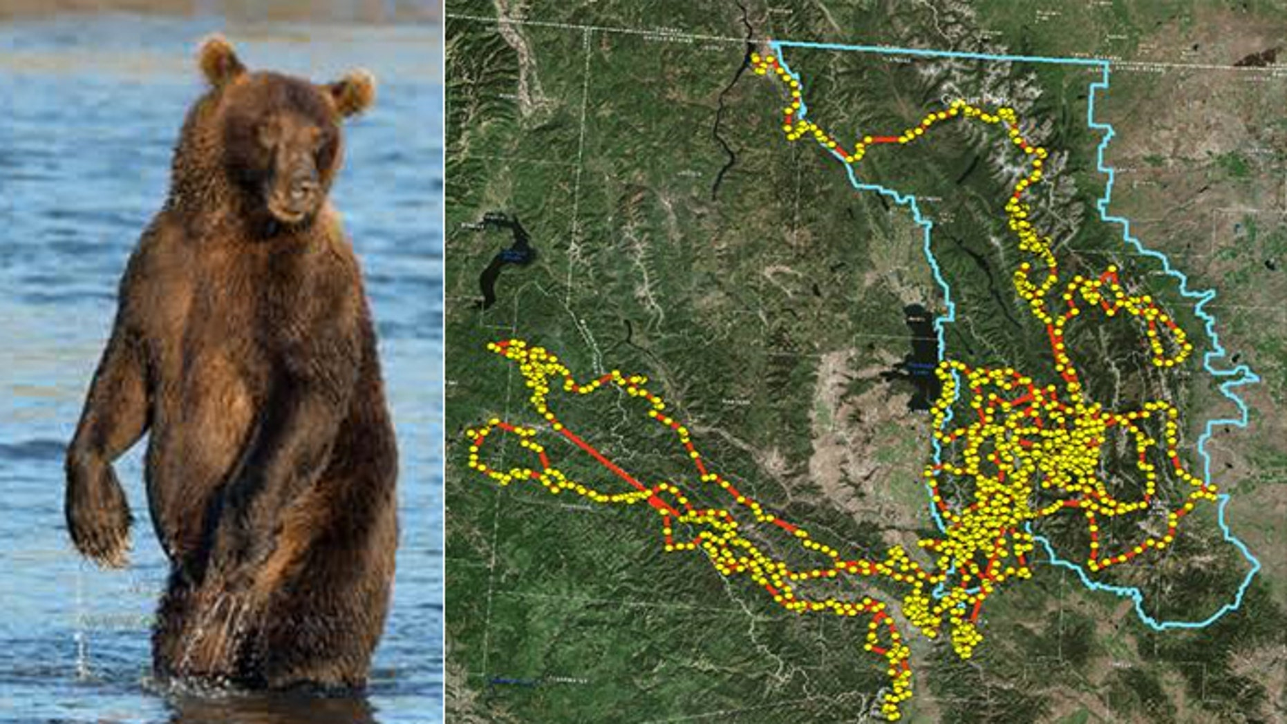 Busy bear: A grizzly like the one pictured rambled 2,800 miles throughout Montana and Idaho, according to conservationists who tracked her.
