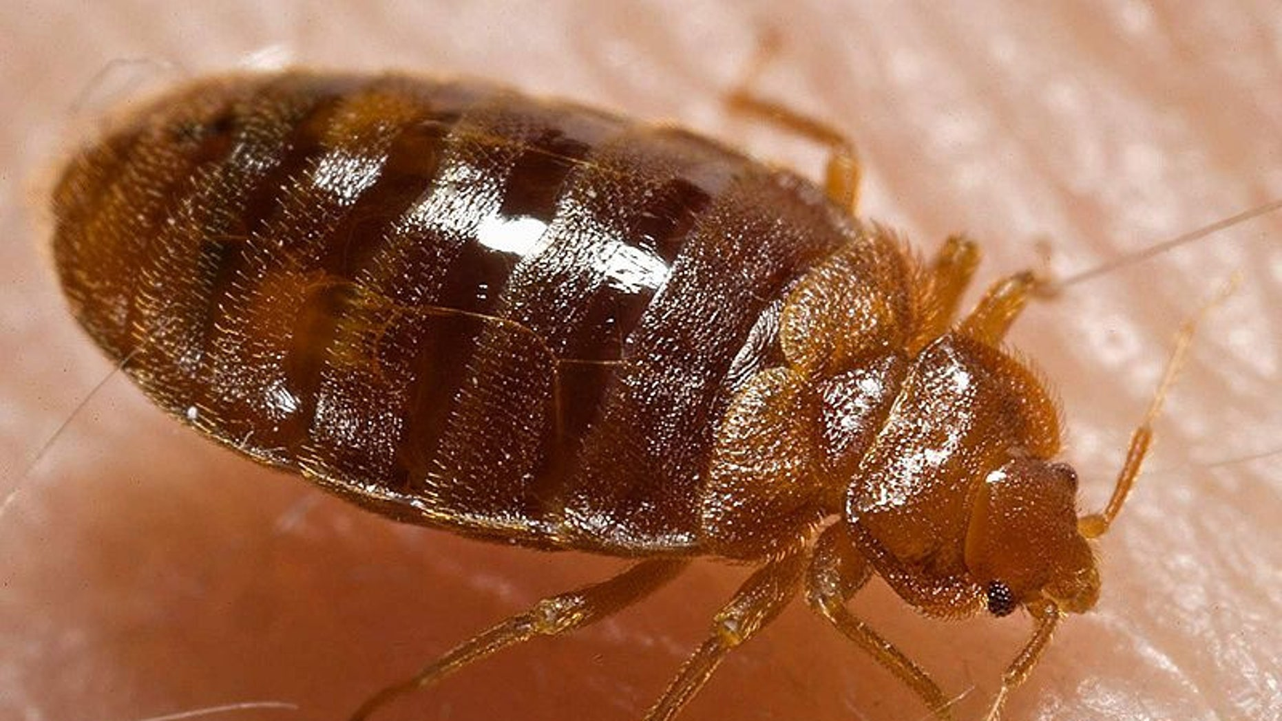 "Bed bugs copulate via ""traumatic insemnation."" It sounds as bad as it is: the male bed bug will simply pierce the female's abdomen with his penis and inject sperm into the wound."