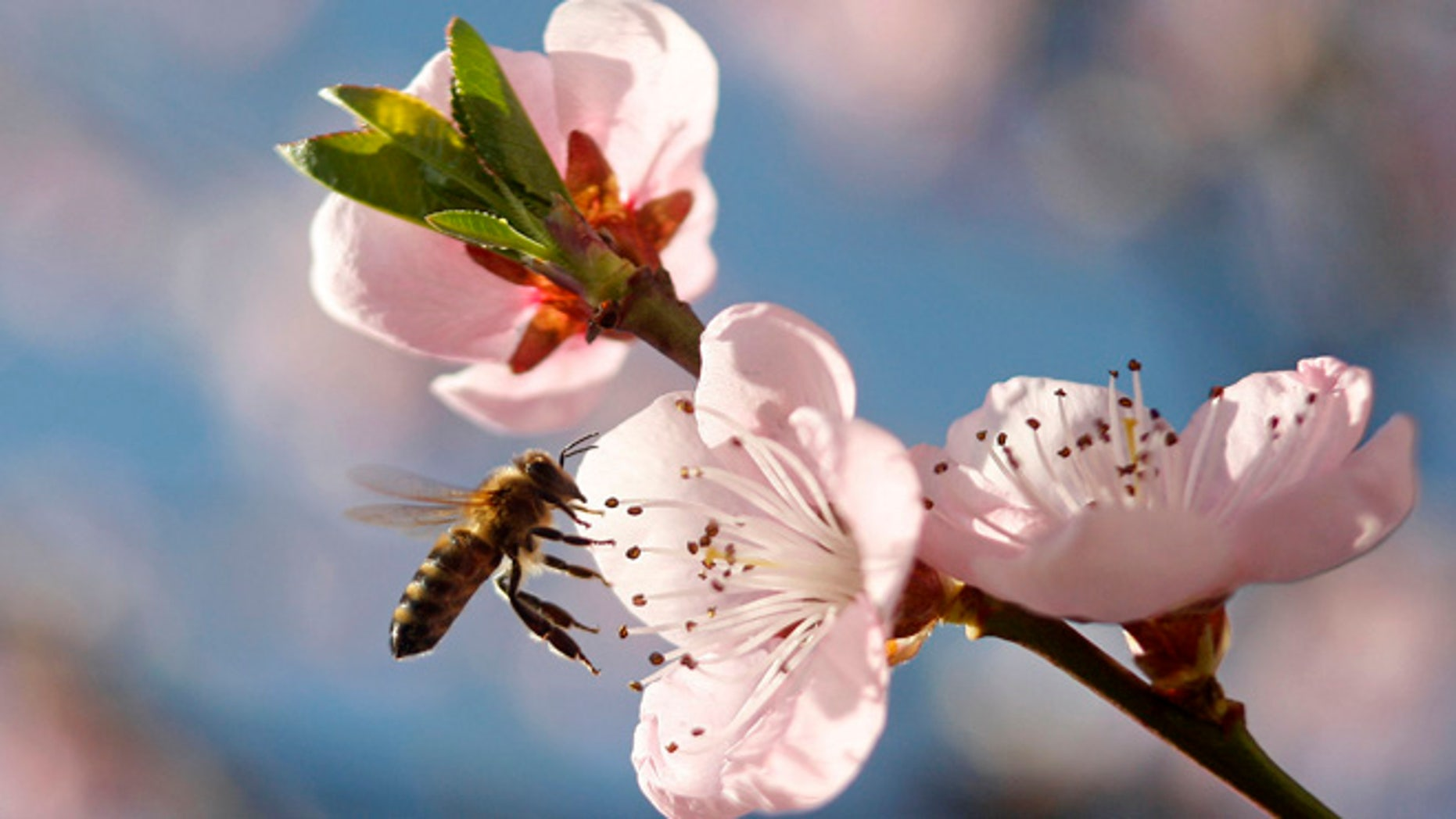 March 29, 2014: A bee flies around peach blossoms in Studencice, Slovenia.