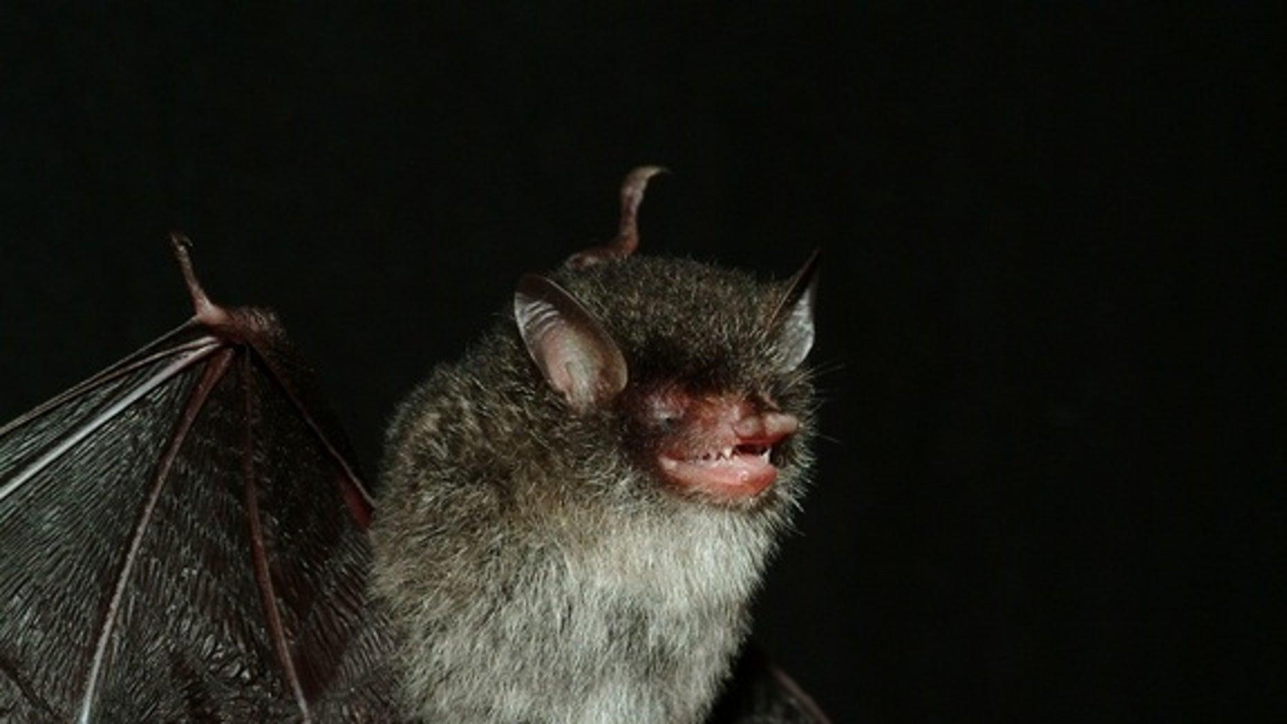 Beelzebub's tube-nosed bat