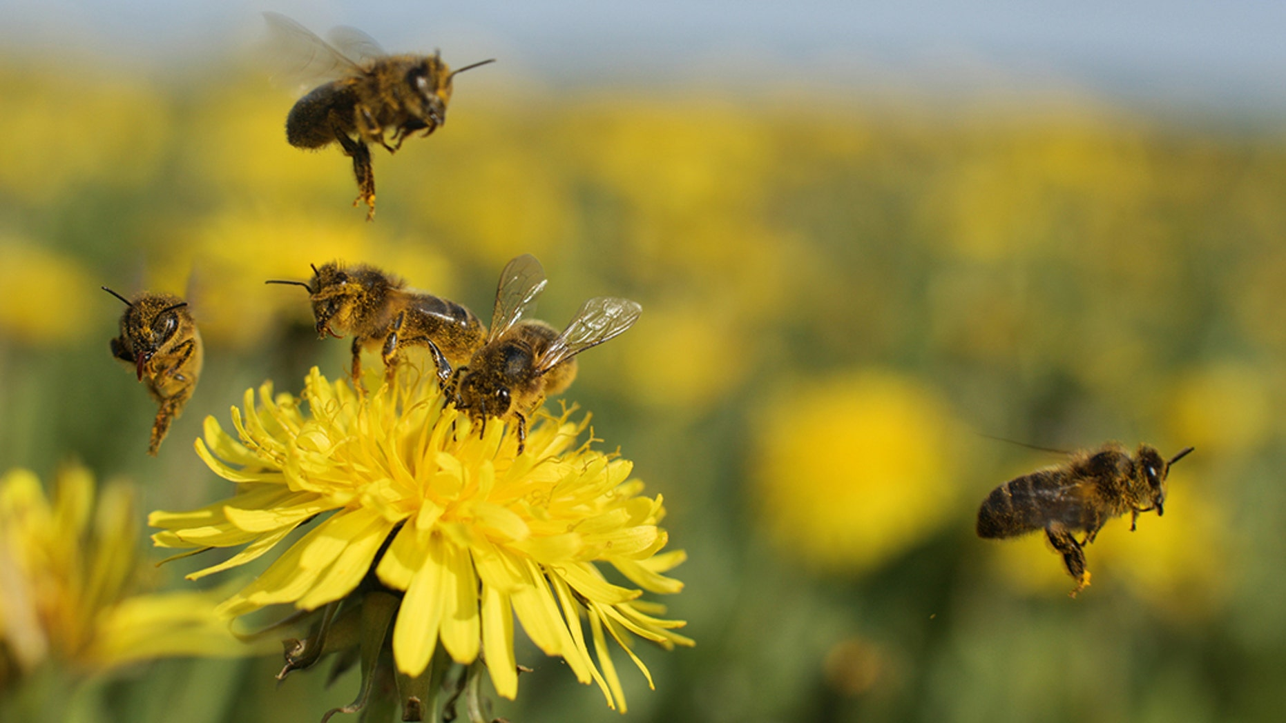 Researchers have looked into what happens to honey bees exposed to an herbicide called glyphosate.
