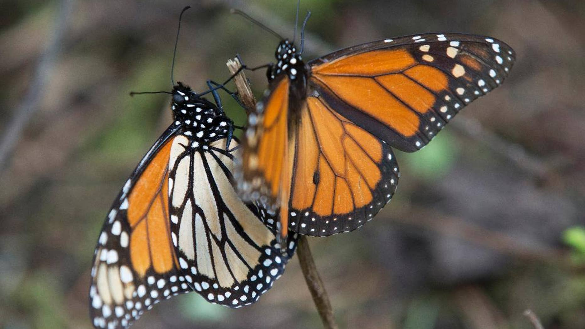 FILE - In this Jan. 4, 2015 file photo, monarch butterflies perch on a twig at the Piedra Herrada sanctuary, near Valle del Bravo, Mexico. Monarch butterflies have begun entering Mexico on their annual migration from the United States and Canada in October 2015. Mexico's Environment Department said Thursday, Oct. 8, 2015 that the butterflies had been spotted by park rangers entering Coahuila state, on the border with Texas. (AP Photo/Rebecca Blackwell, File)