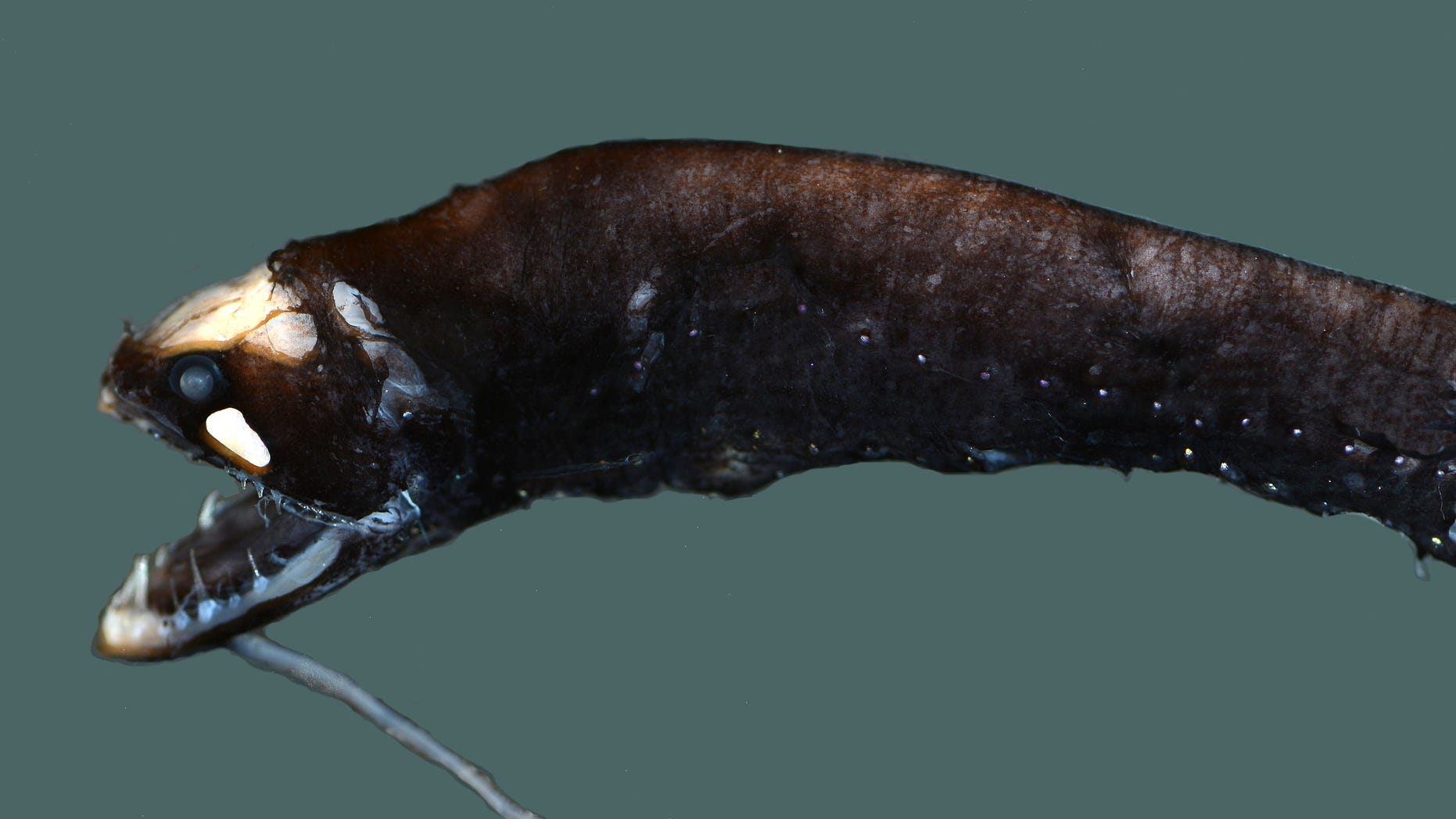 This barbeled dragonfish is a small bioluminescent deep-sea fish with a long protrusion attached to its chin — a barbel — tipped with a light-producing organ called a photophore. It also has large photophores on its body