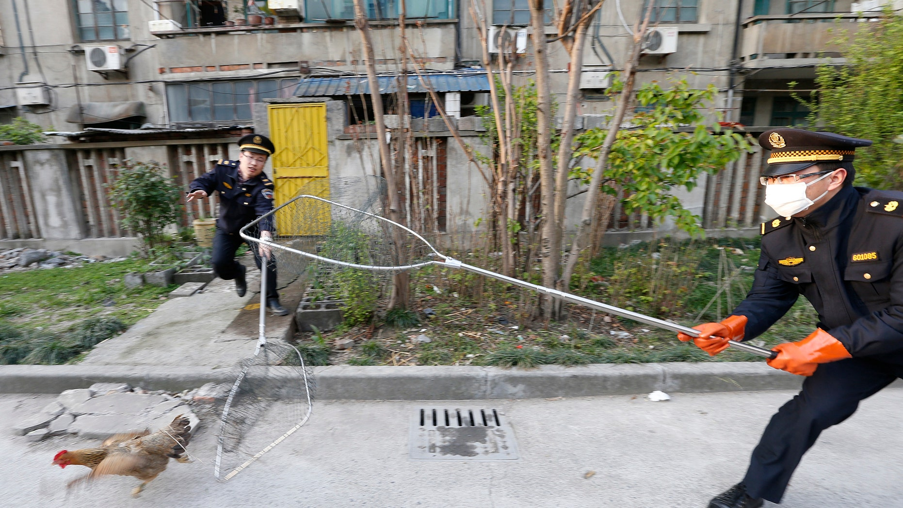 City management officers try to catch a chicken in a residential neighbourhood of Jiaxing, Zhejiang province, April 11, 2013.