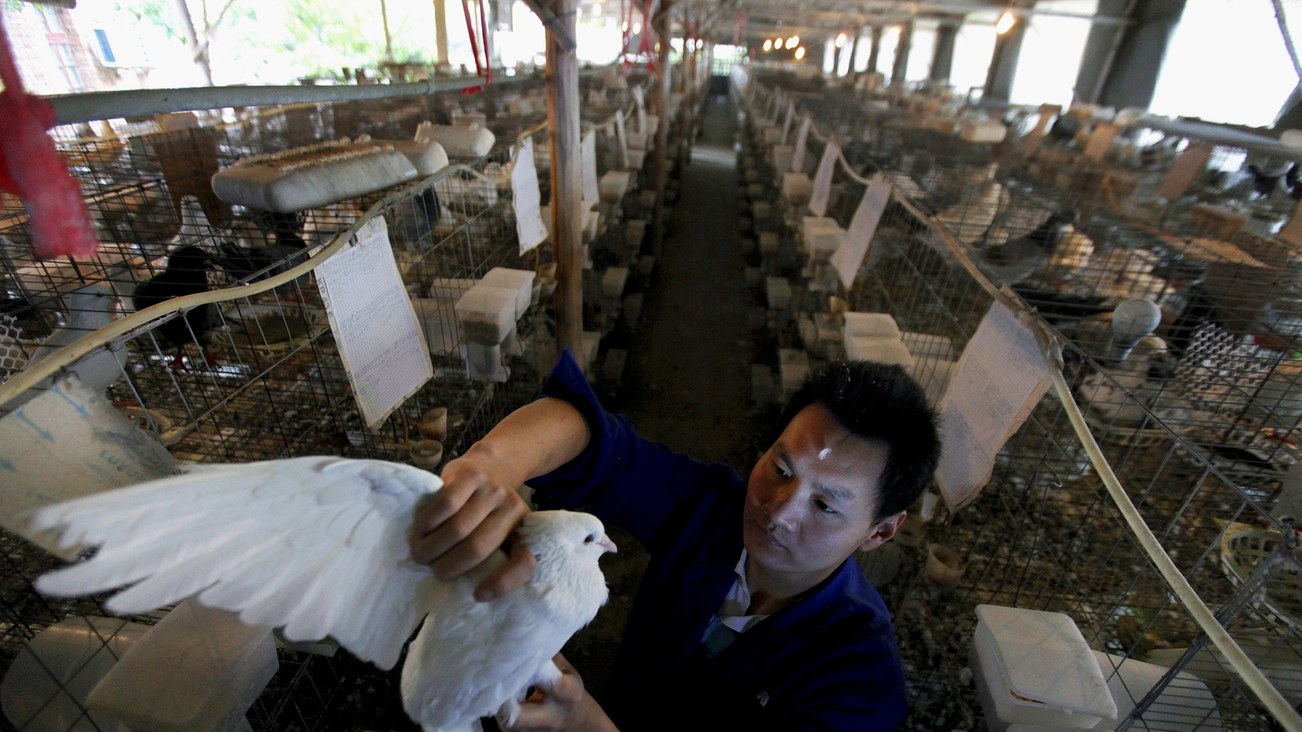 A man holds a pigeon at a pigeon farm, which according to the owner has not been affected by the H7N9 bird flu strain, in Quzhou, Zhejiang province. (REUTERS/Stringer)