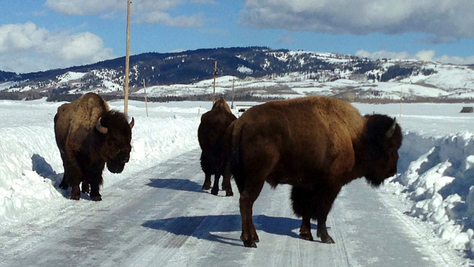 In this Feb. 4, 2017 photo provided by Grand Teton National Park, three bison linger on a plowed area of Antelope Flats Road, in Grand Teton National Park, Wyo.