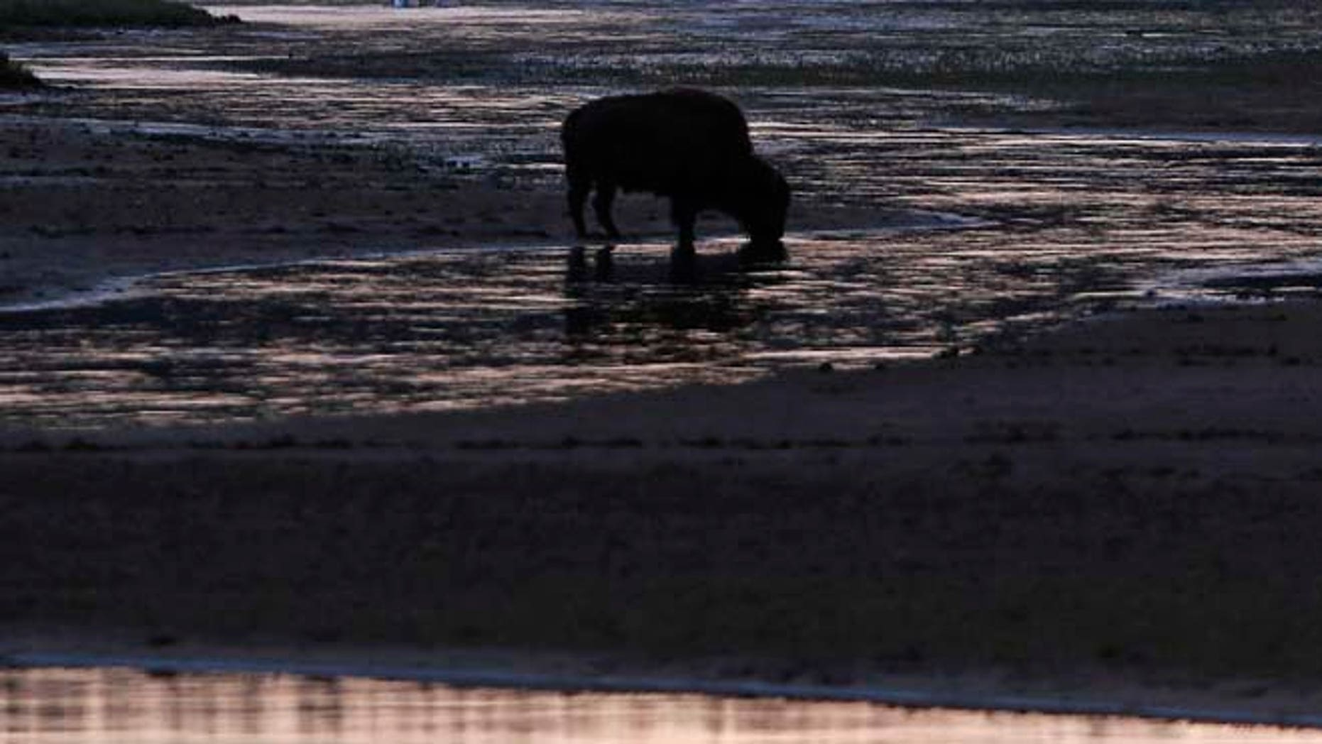 June 7, 2013: A bison grazes after sunset in Yellowstone National Park. (Reuters)