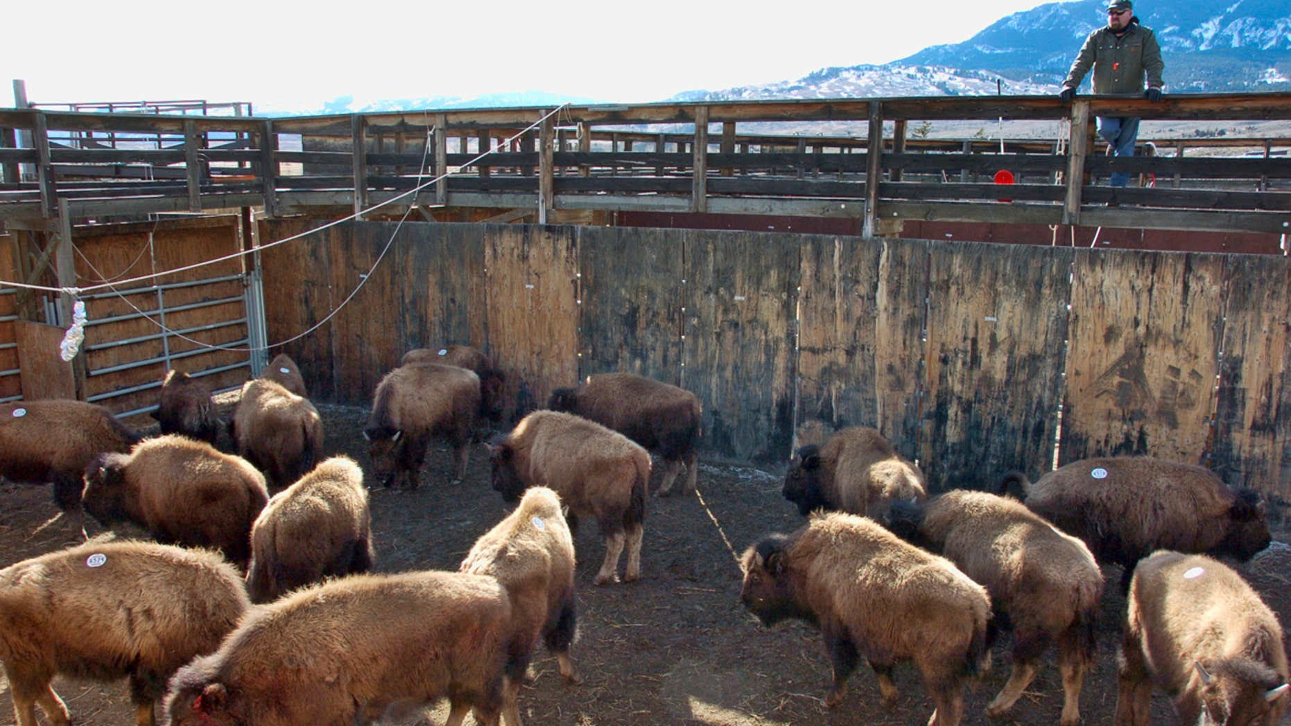 This March 9, 2016 file photo shows bison captured from Yellowstone National Park being held in a government research facility near Corwin Springs, Mont.
