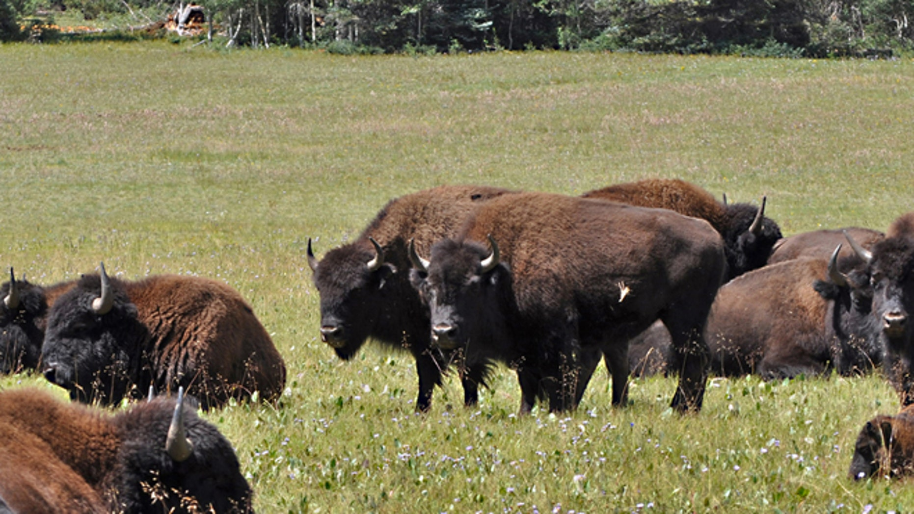 This undated photo provided by Kaibab National Forest shows bison roaming along the House Rock Wildlife Area on the Kaibab National Forestss North Kaibab Ranger District in Arizona. (AP)