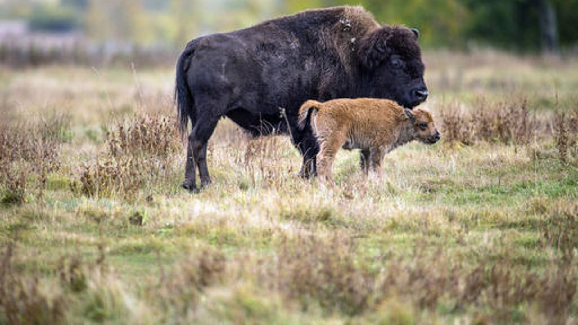 In this undated photo provided by Parks Canada, a bison and it's calf roam in a section of the Elk Island National Park, Canada. Descendants of a bison herd captured and sent to Canada more than 140 years ago will be relocated to a Montana American Indian reservation. (Parks Canada via AP)