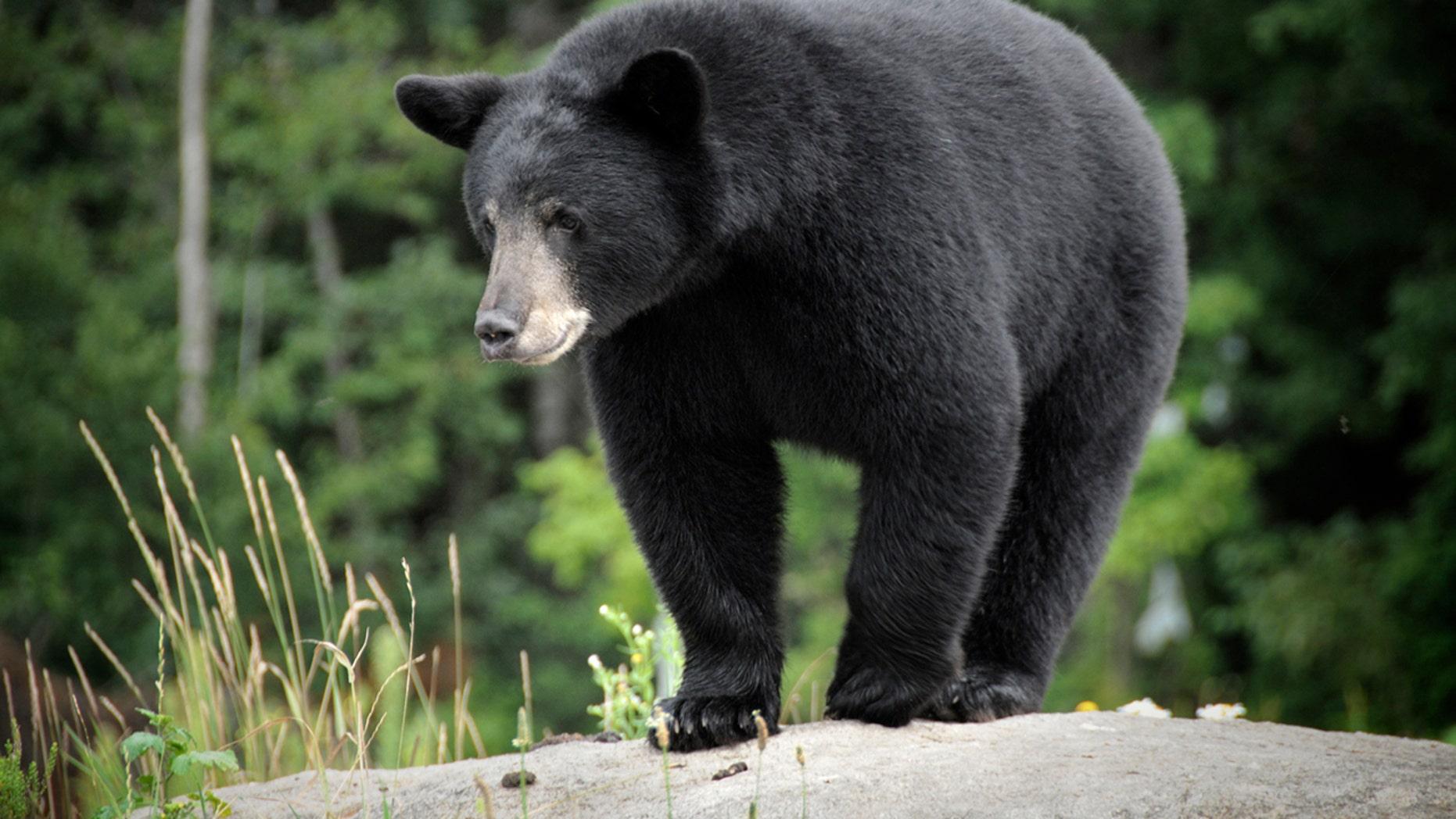 A wild Black Bear. Adobe RGB color profile.