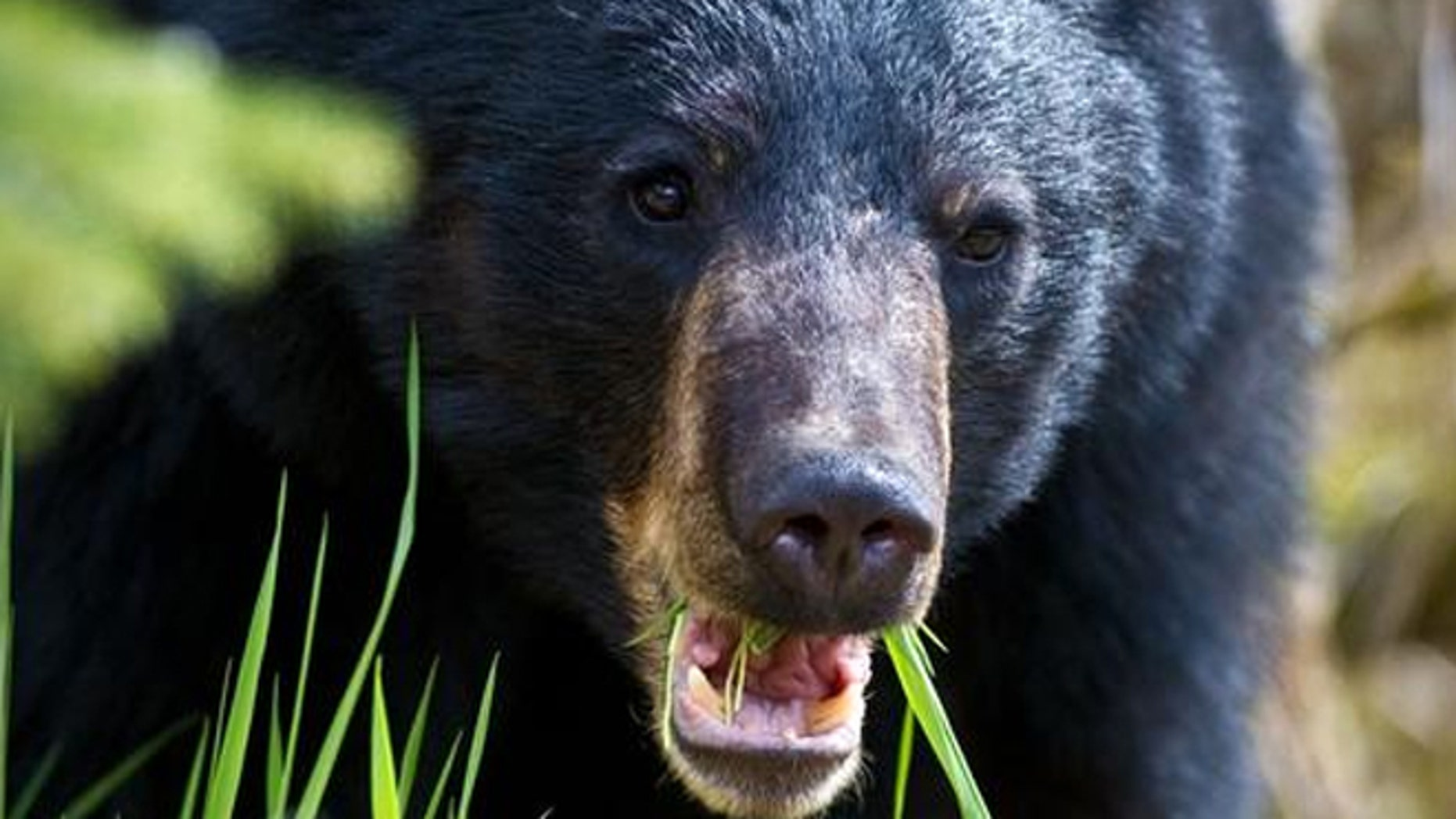 A black bear broke into an Idaho house and licked leftover Chinese food from a cast iron pan on the stove.