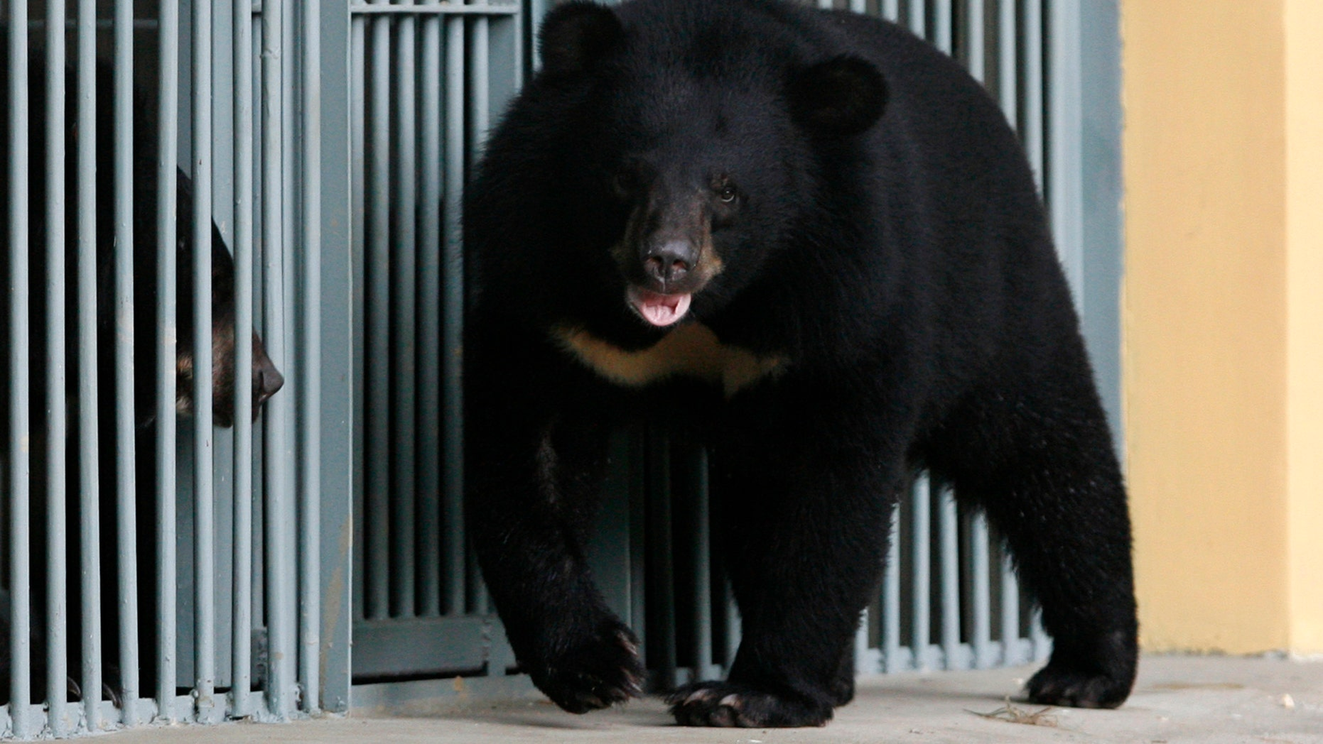 File photo - Asiatic black bears are seen at the Vietnam Bear Rescue Centre in Tam Dao National Park, north of Hanoi May 14, 2009. (REUTERS/Kham)
