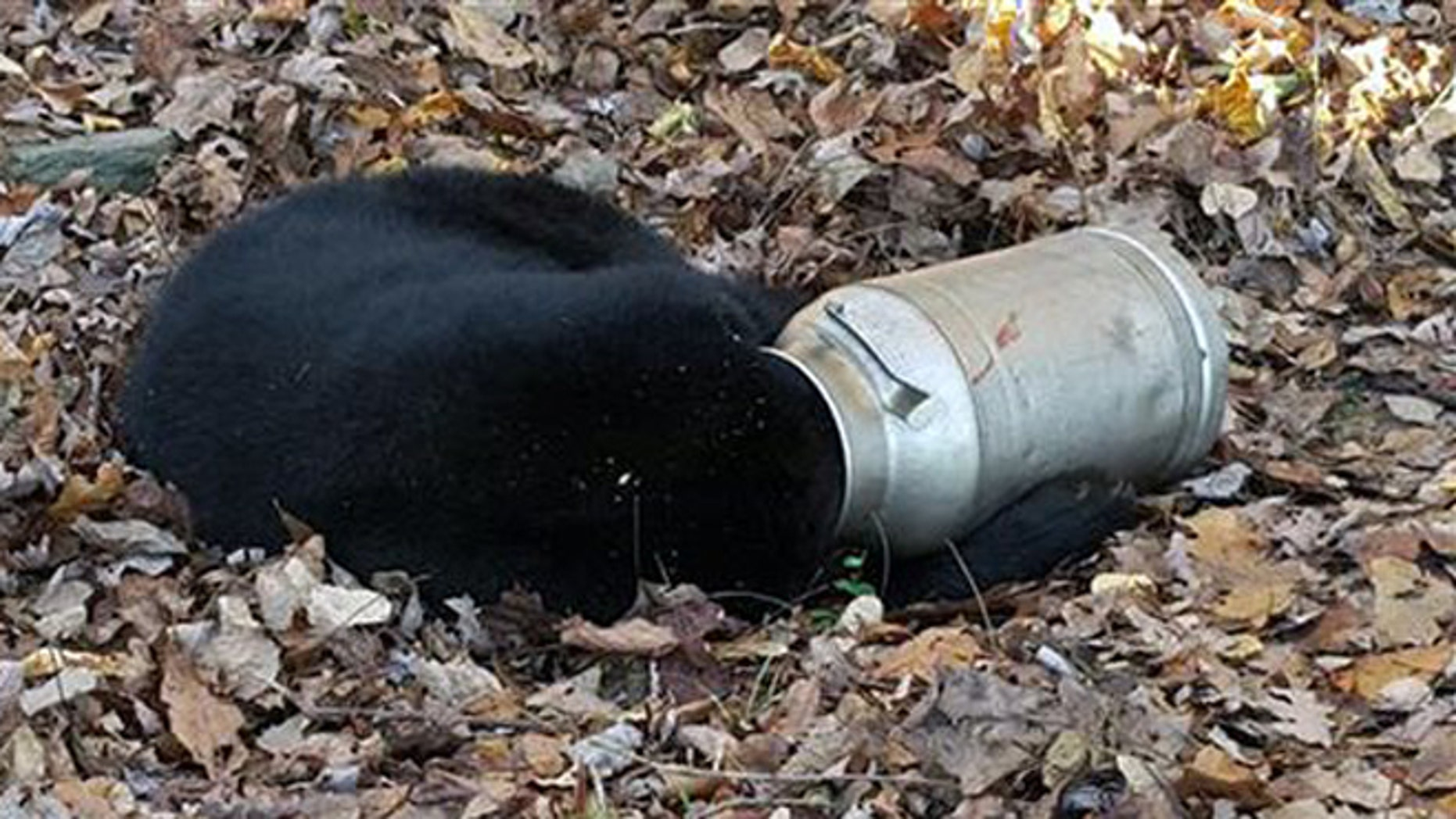 Nov. 16, 2015: In this photo provided by the Maryland Department of Natural Resources Wildlife and Heritage Service, a male black bear rests with its head stuck in a milk can near Thurmont, Md.