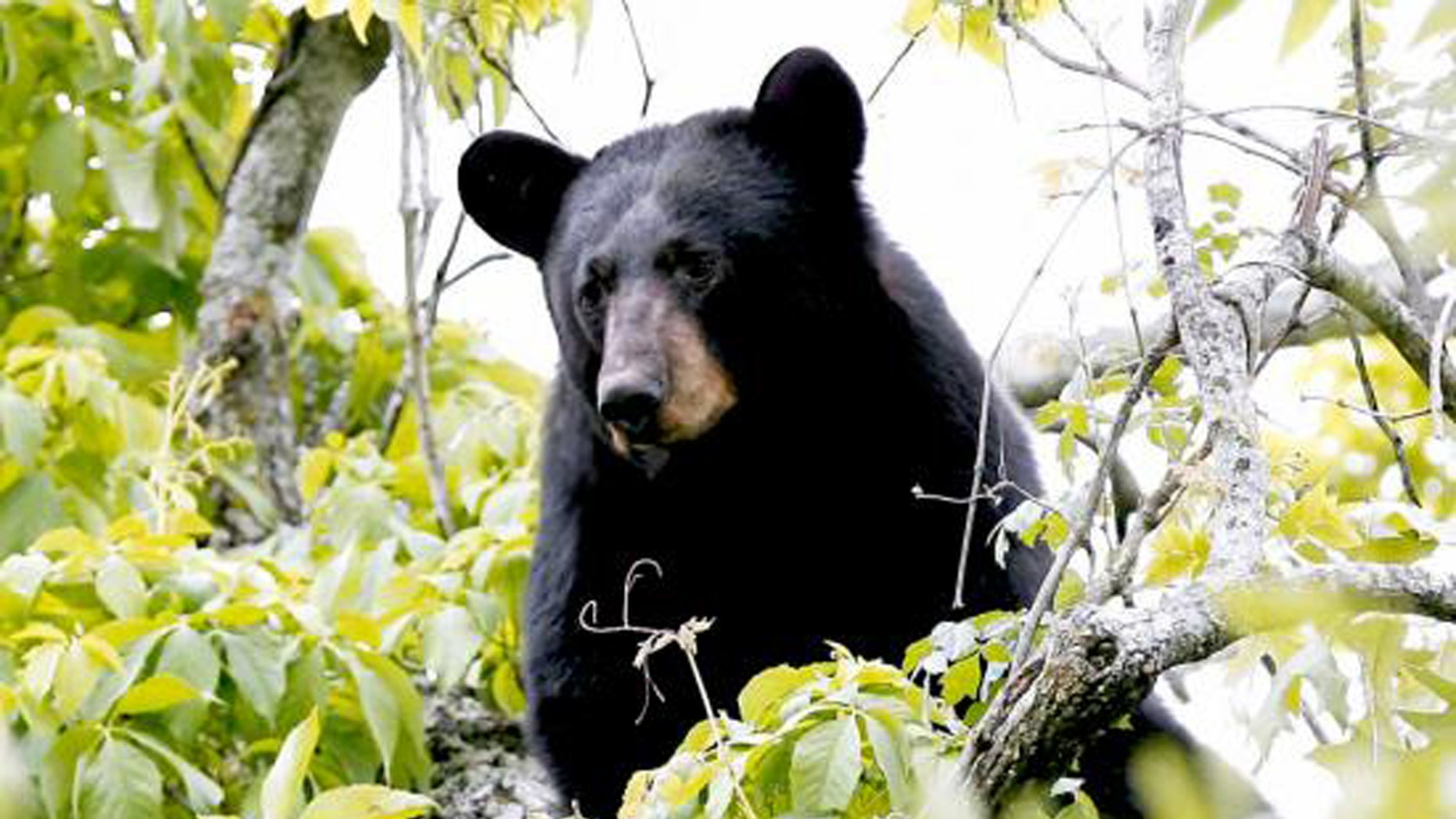 File photo - A black bear is shown in this undated handout photo provided by the State of Louisiana Department of Wildlife and Fisheries, March 10, 2016. (REUTERS/State of Louisiana Department of Wildlife and Fisheries/Handout via Reuters)