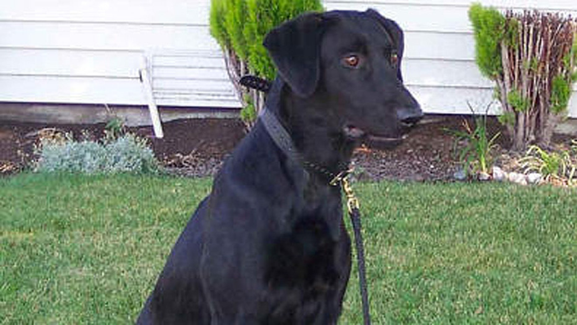 One of the dogs, a 1-year-old black Labrador retriever seen here who was the officer's personal pet, reportedly died in a veterinary hospital the next day. (Richmond Police Department)