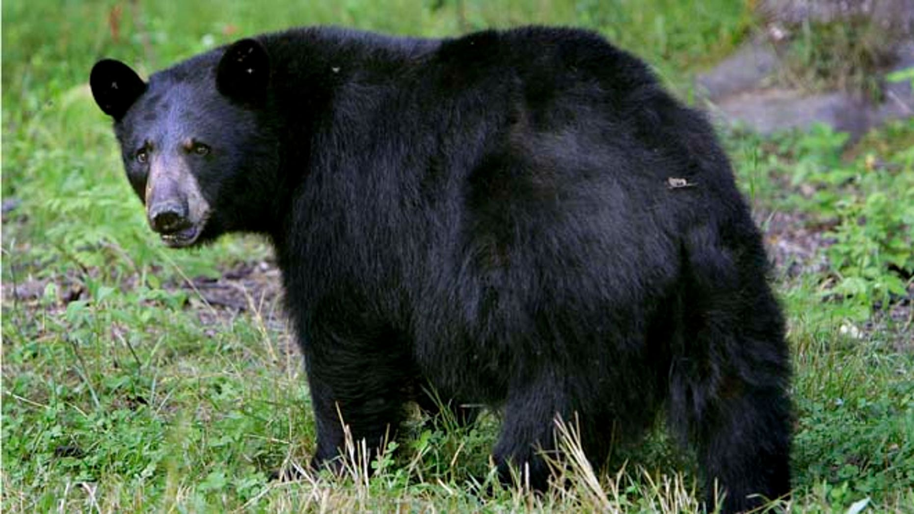 FILE:  A black bear seen in Lyme, N.H.