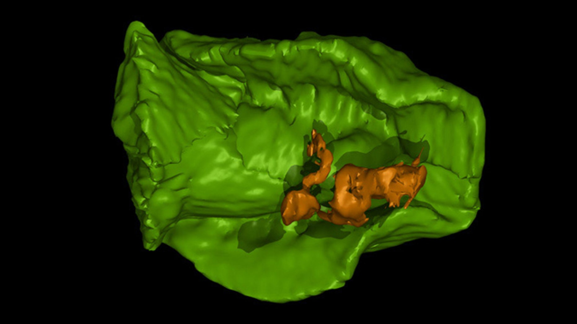 This virtual reconstruction shows the newly described species called Drakozoon kalumon, including its hood (green) used by the animal for protection against predators, and its feeding arms (brown), which are coiled.