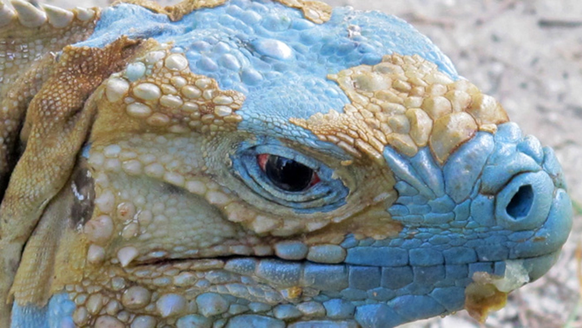 """An adult Grand Cayman Blue Iguana nicknamed """"Biter"""" is shown shedding its dead skin at the Queen Elizabeth II Botanic Park on the island of Grand Cayman. Roughly 700 blue iguanas breed and roam free in protected woodlands on the eastern side of Grand Cayman in the western Caribbean that is the only place where the critically endangered animals are found in the wild."""