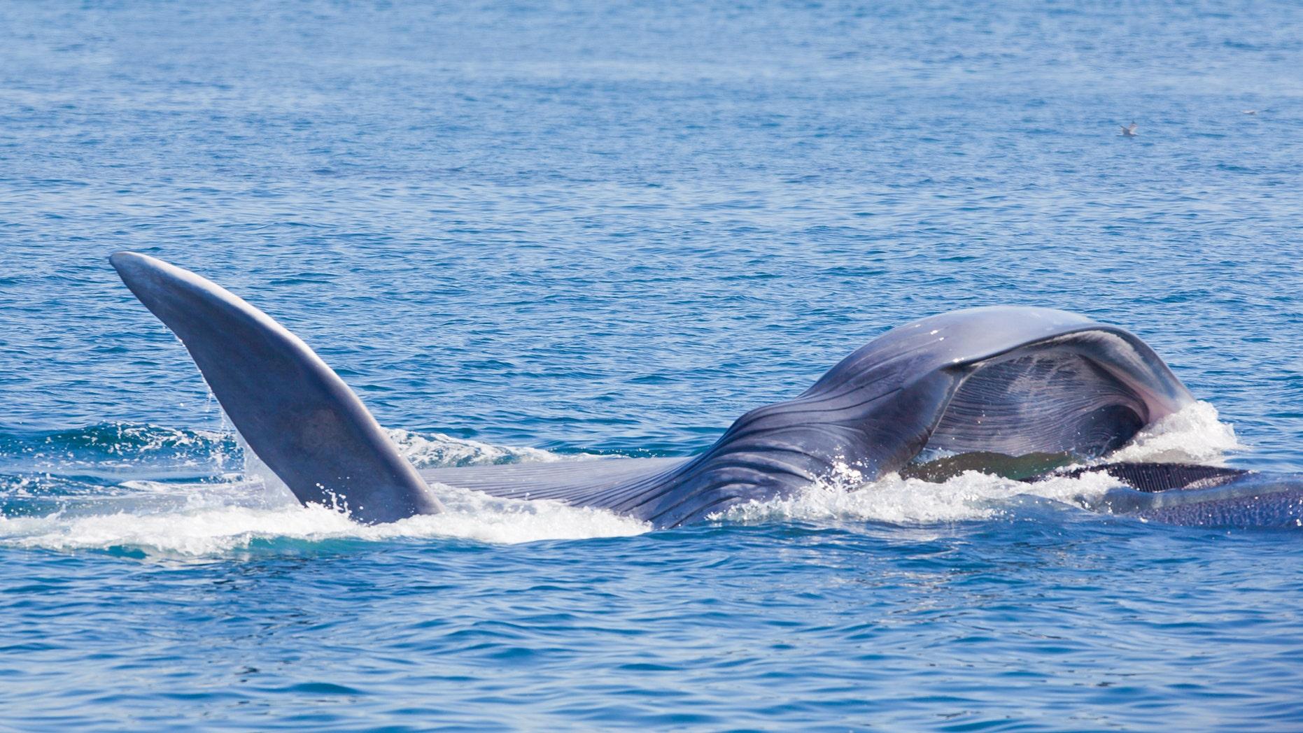 """Blue Whale Feeding in Palos Verdes, California"" (LPETTET)  (Credit: iStock)"