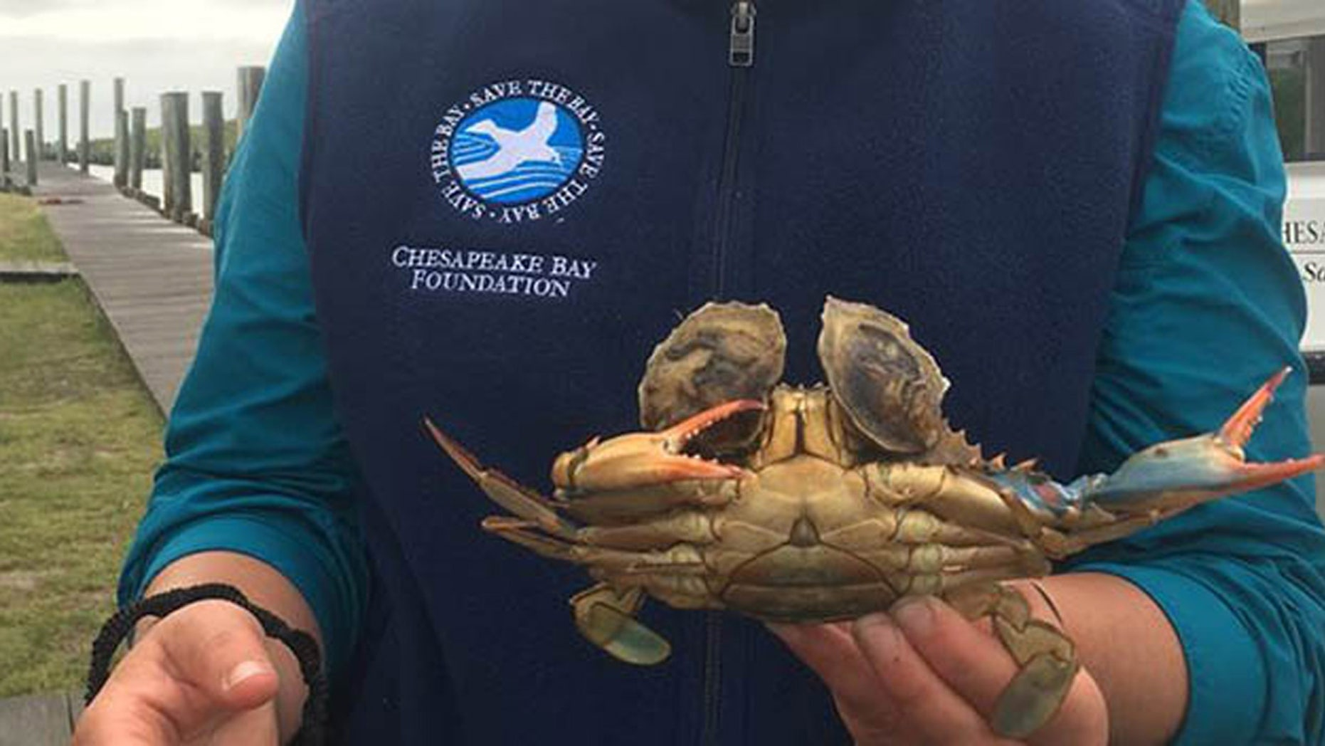 A blue crab with two oysters attached by its eyes was found in a crab pot off Tangier Island, Va.