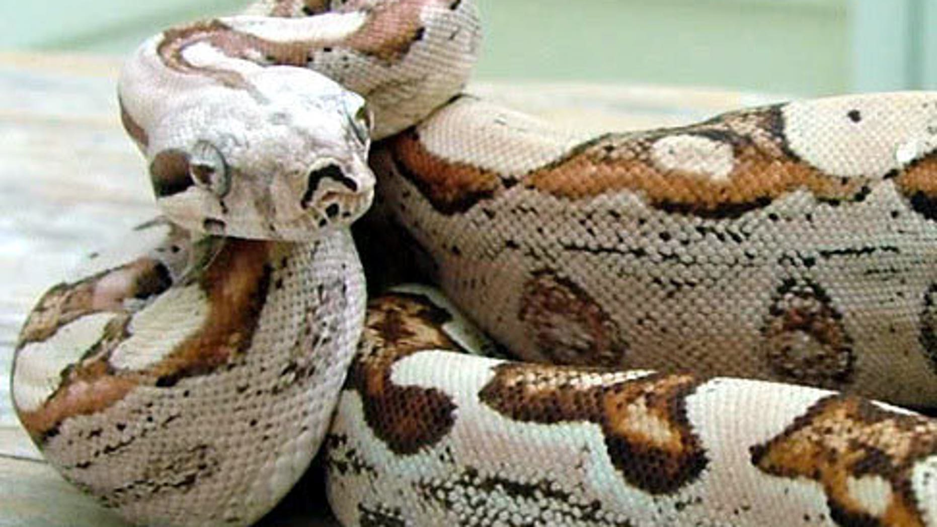 """This boa constrictor is the result of a """"virgin birth"""" in which its mama reproduced without a male in a phenomenon called parthenogenesis."""